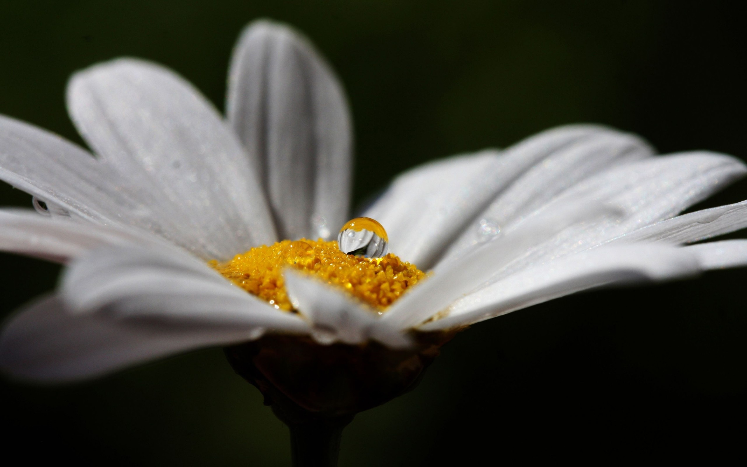 click to free download the wallpaper--Daisy Flower Pictures, Pure and White Flower with Rain Drops, Black Background 2560X1600 free wallpaper download