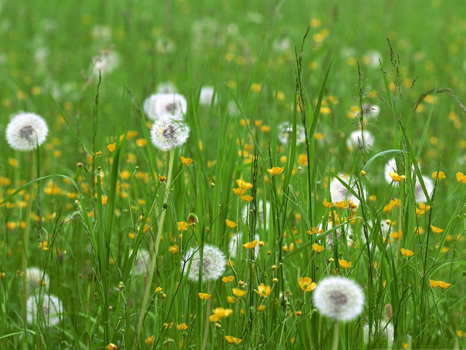 click to free download the wallpaper--Dandelion Flower Images, White Flowers and Green Grass, Spring Flowers Field 1600X1200 free wallpaper download