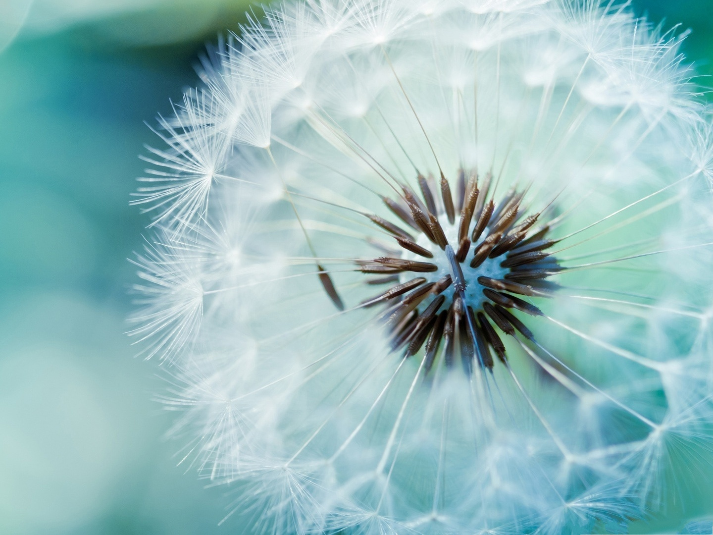click to free download the wallpaper--Dandelion Flower Photography, White Dandelions, Can Fly Up High and Far 1440X1080 free wallpaper download