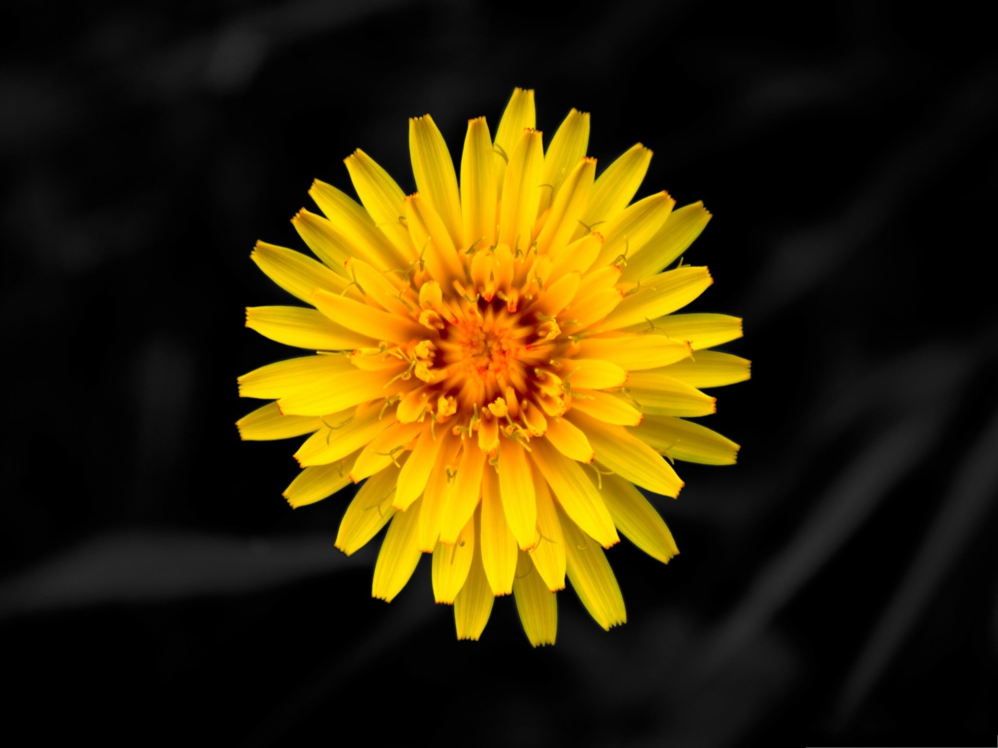 click to free download the wallpaper--Dandelion Flowers Picture, Yellow Blooming Flower, Petals Like Long Arms 2048X1536 free wallpaper download