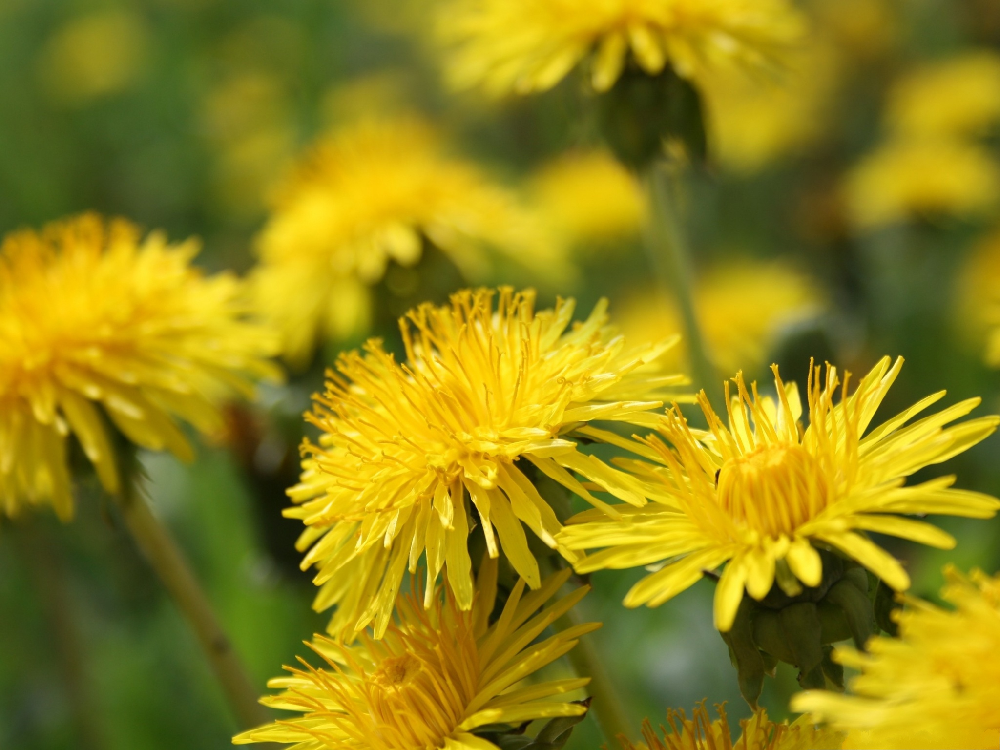 click to free download the wallpaper--Dandelion Flowers Picture, Yellow Flower in Bloom, Amazing and Impressive 2048X1536 free wallpaper download