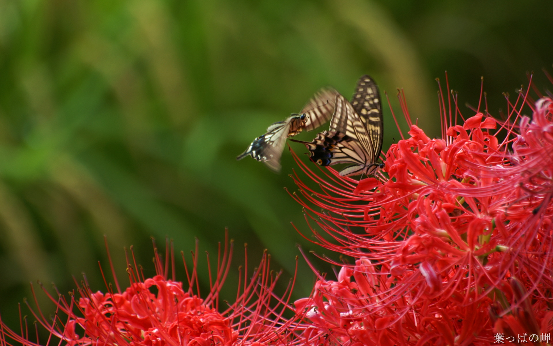 click to free download the wallpaper--Digital Flower Photography, Butterflies on Red Flower, Never Depart 1920X1200 free wallpaper download