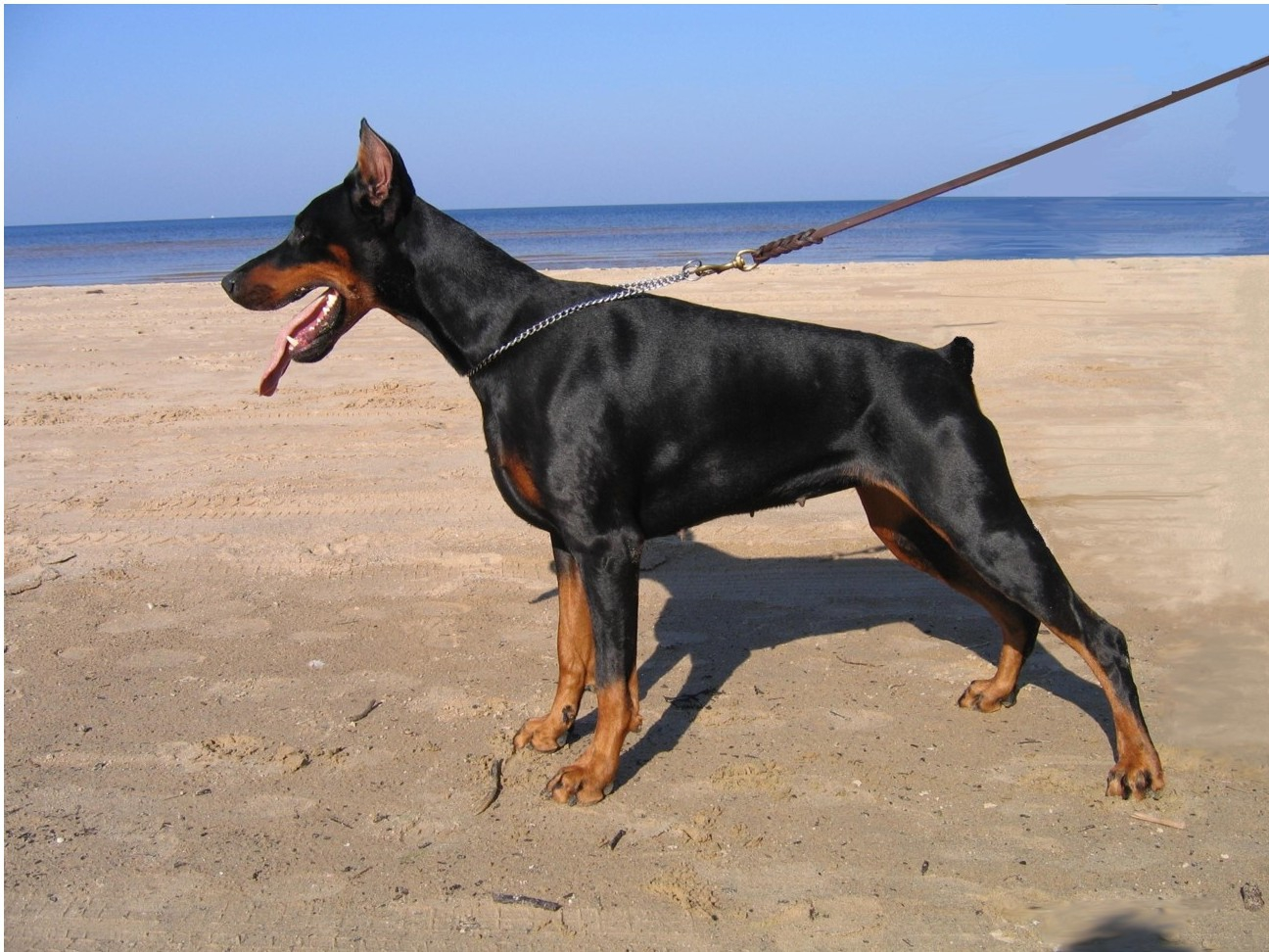 click to free download the wallpaper--Doberman in Rescue 1296X972 free wallpaper download