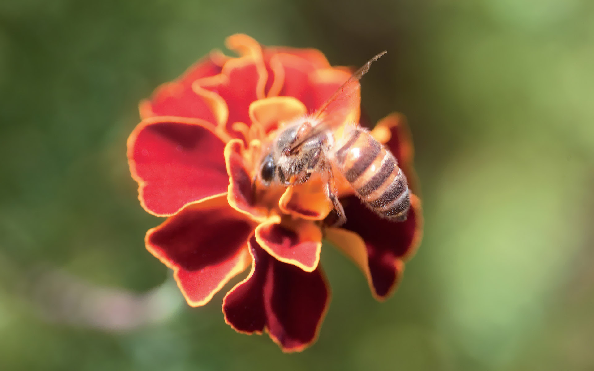 click to free download the wallpaper--Flower Photography, Deligent Bee on a Red Flower, Unwilling to Leave 1920X1200 free wallpaper download