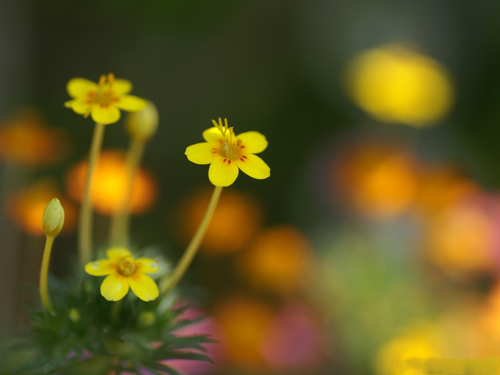 Flower Photography, Little Yellow Flowers, Misty Background ...