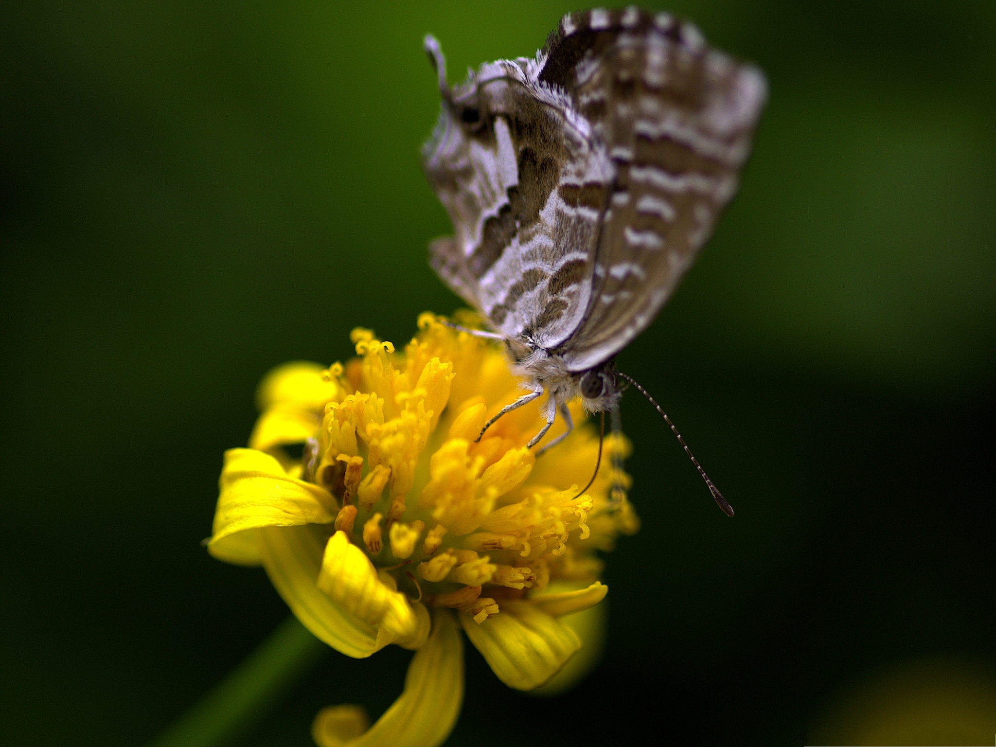 click to free download the wallpaper--Flower and Butterflies, Gray Butterfly on Yellow Flowers, Great and Impressive Scene 2048X1536 free wallpaper download