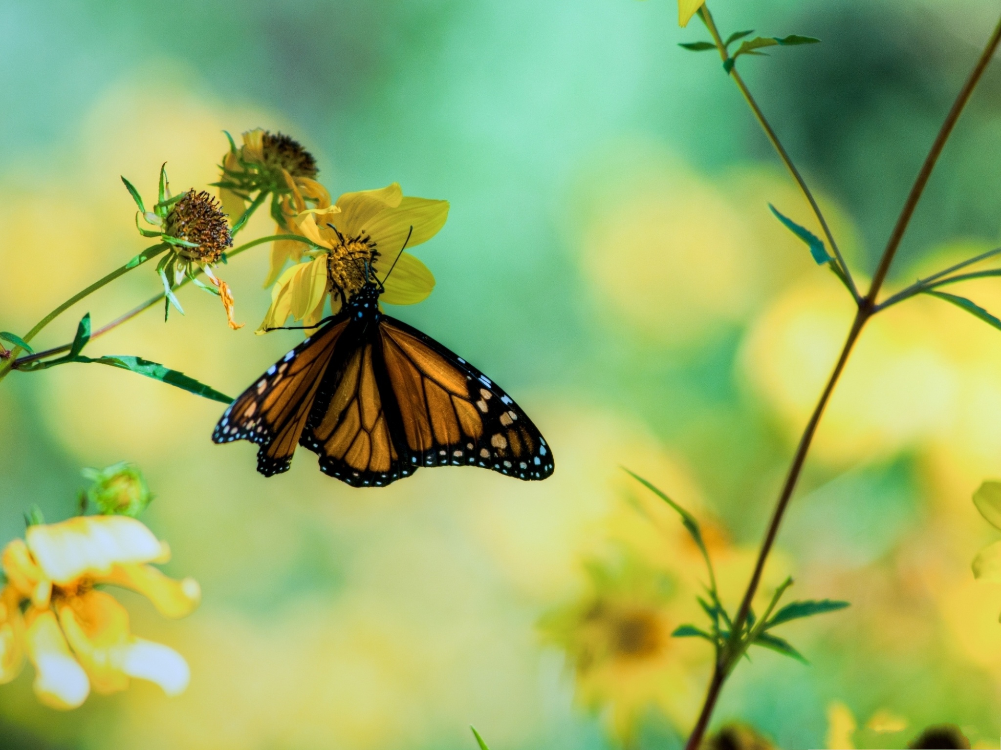 click to free download the wallpaper--Flower and Butterfly, Monarch Butterfly On Yellow Flower, Great Lovers 2048X1536 free wallpaper download