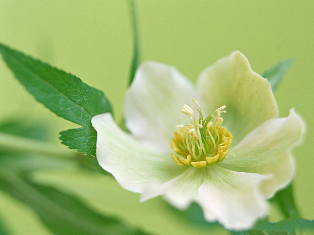 bloomed white roses wallpaper-#50