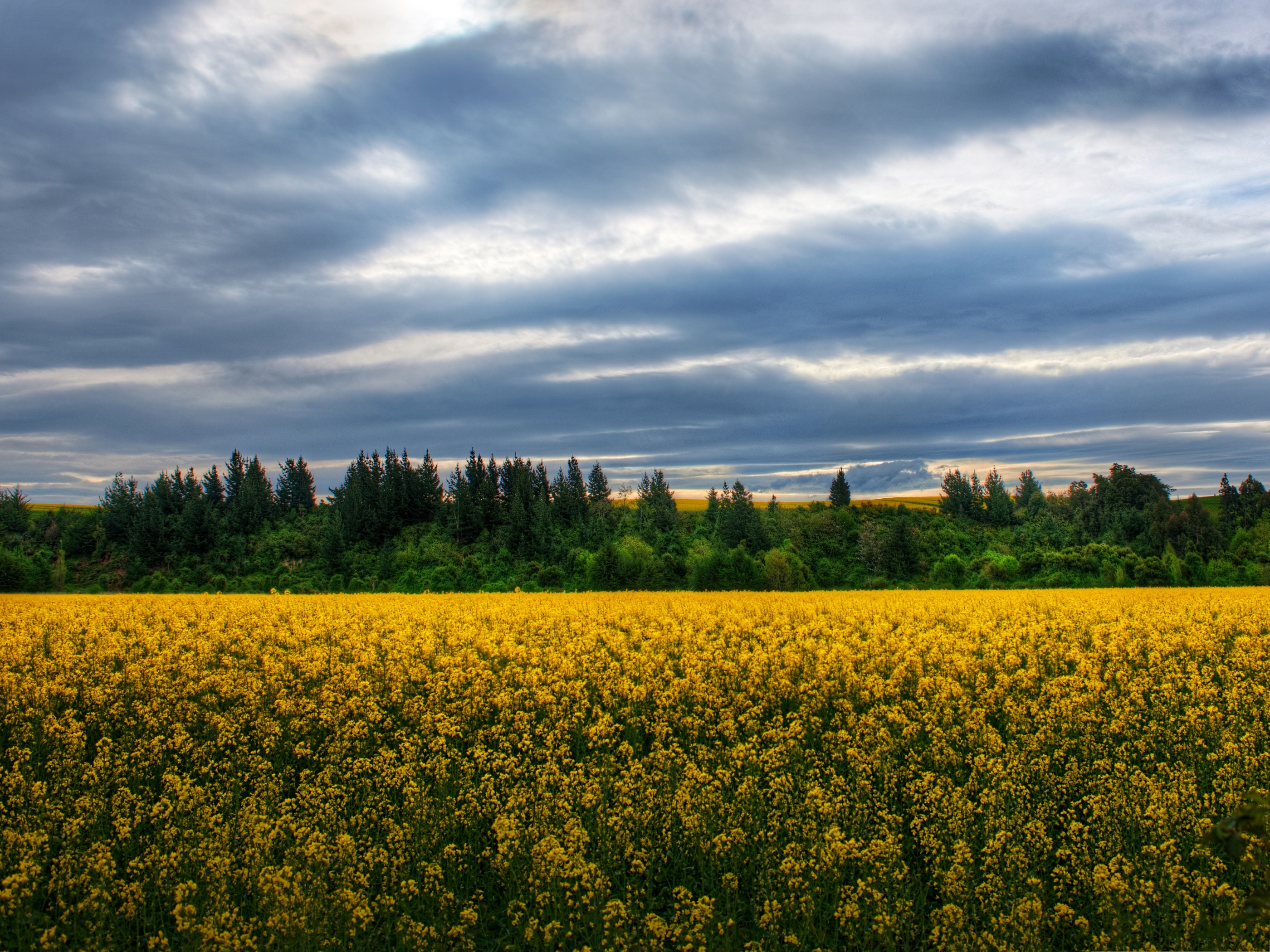 click to free download the wallpaper--Flowers Field Image, Yellow Flowers in Bloom, Under the Blue Sky 2800X2100 free wallpaper download