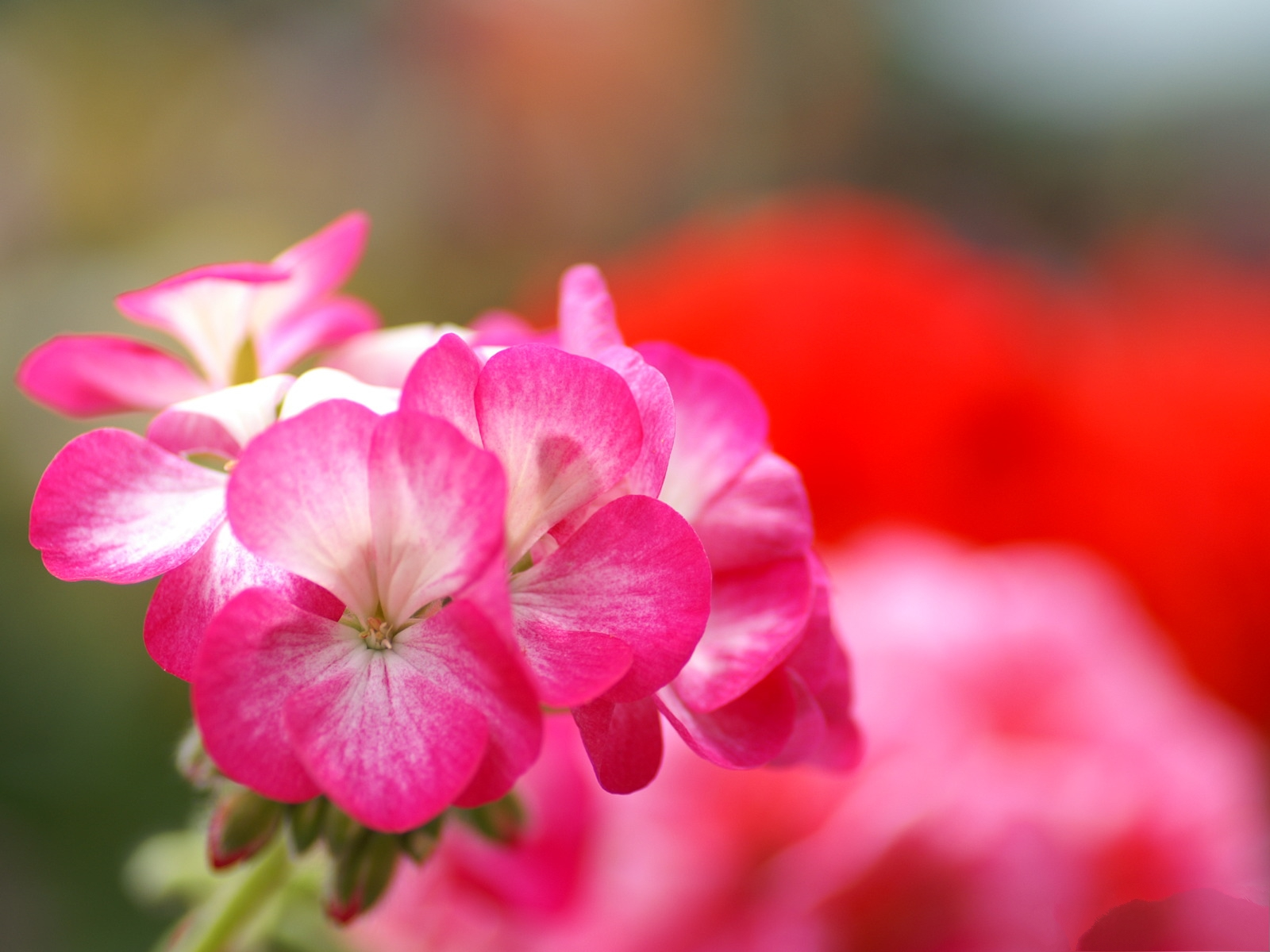 click to free download the wallpaper--Flowers Photography, Pink to Red Flowers, Fuzzy Background 1600X1200 free wallpaper download