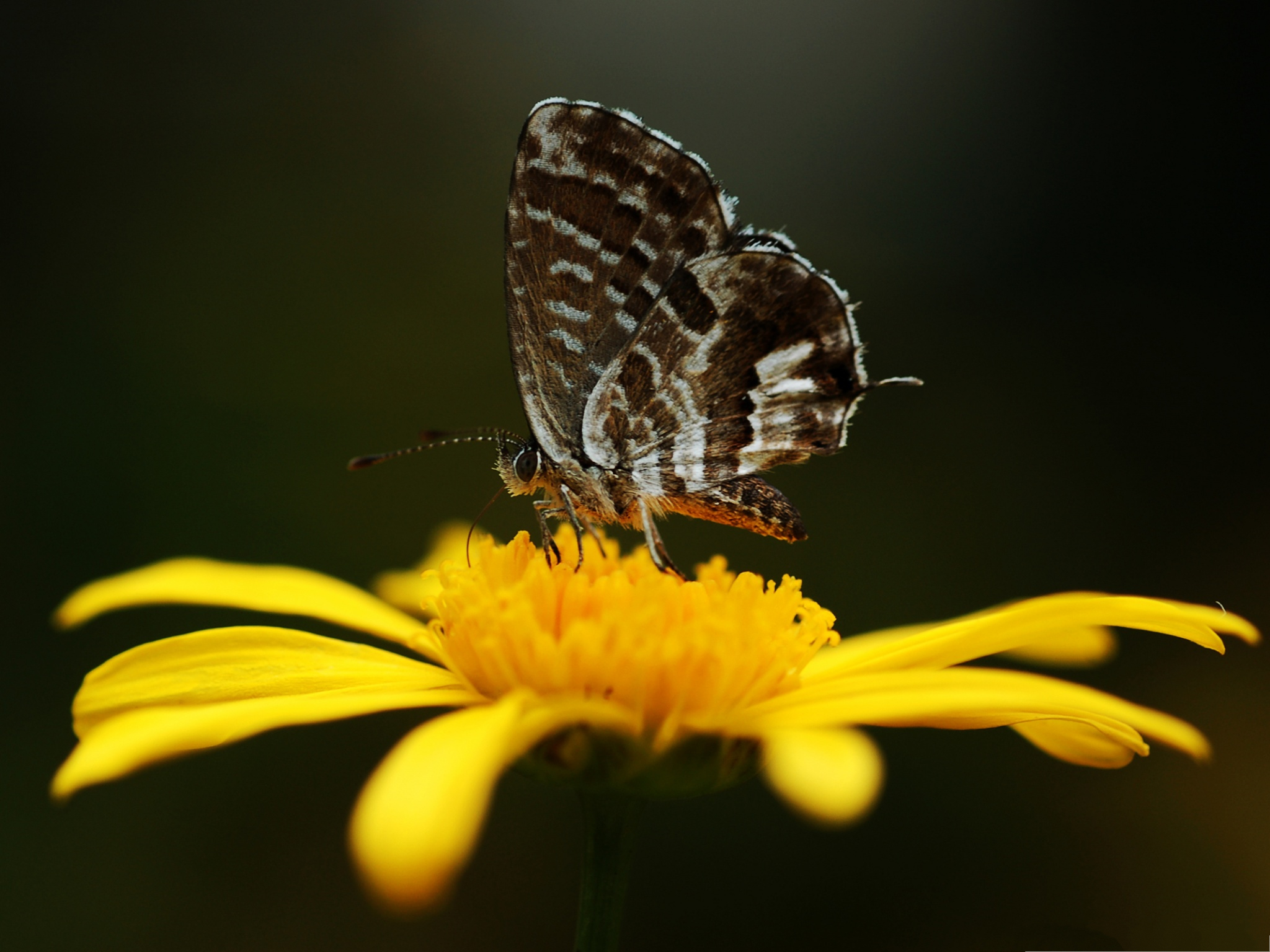 click to free download the wallpaper--Flowers and Butterfly, Gray Butterfly on Yellow Flower, Great Lovers! 2048X1536 free wallpaper download