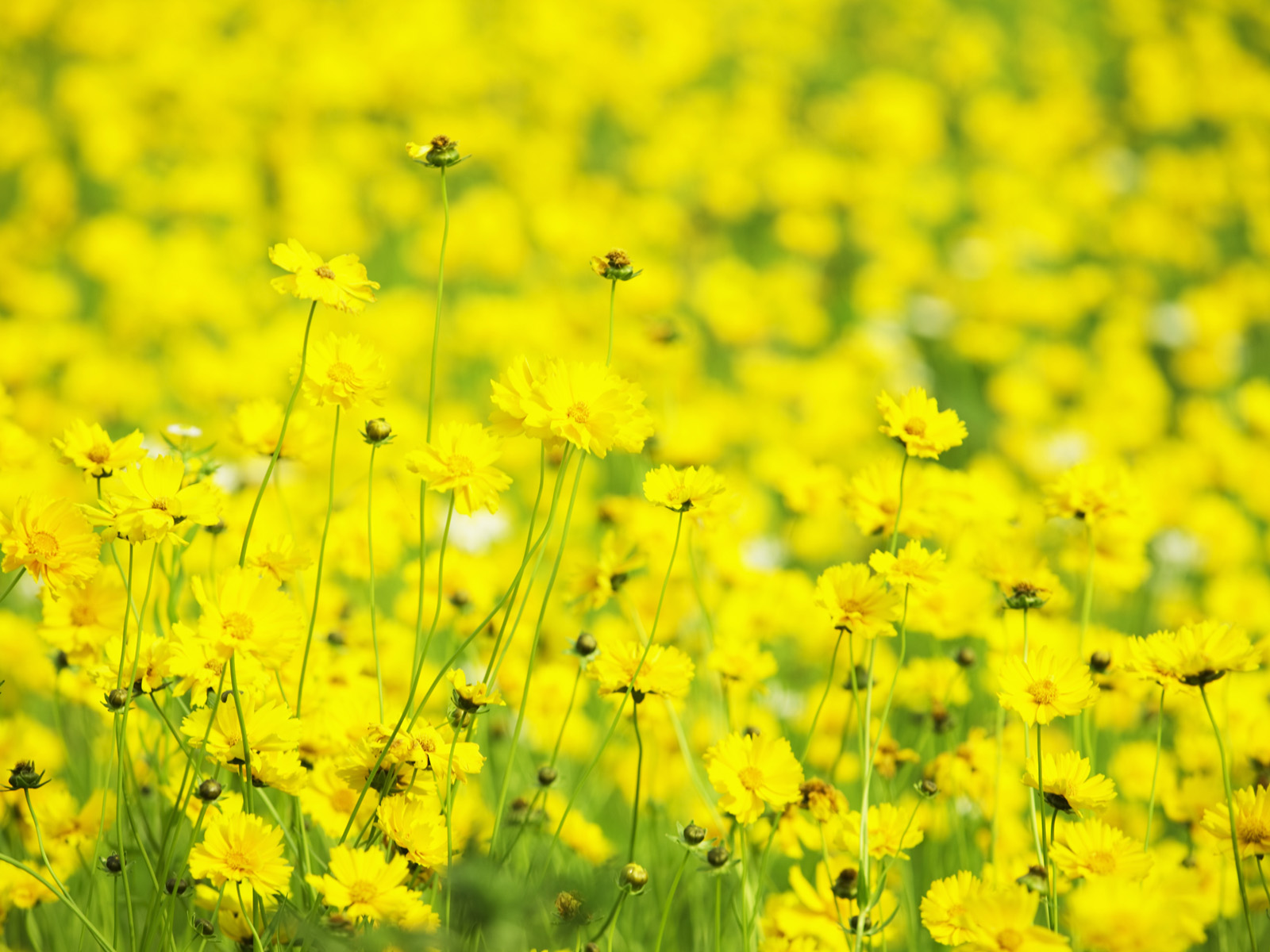 click to free download the wallpaper--Flowers and Nature, Yellow Flowers Smiling Under the Sky, Miracle of Nature 1600X1200 free wallpaper download
