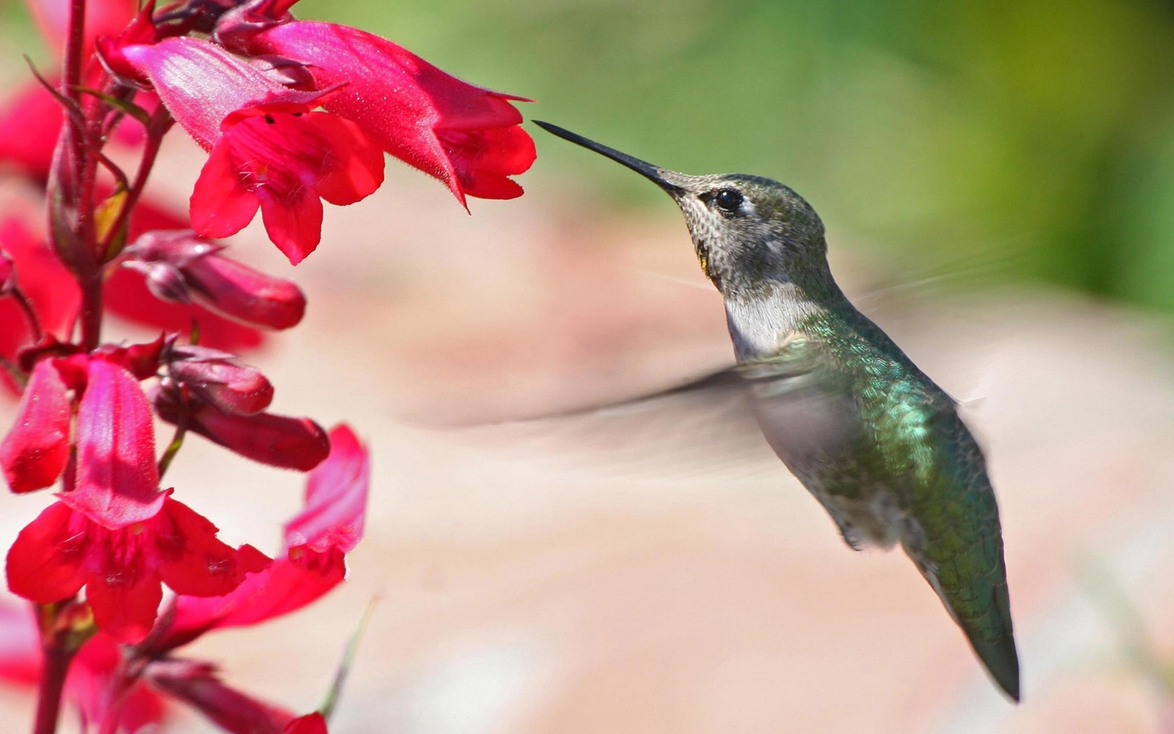 Flying Hummingbird Photo The Smallest Bird All Over The