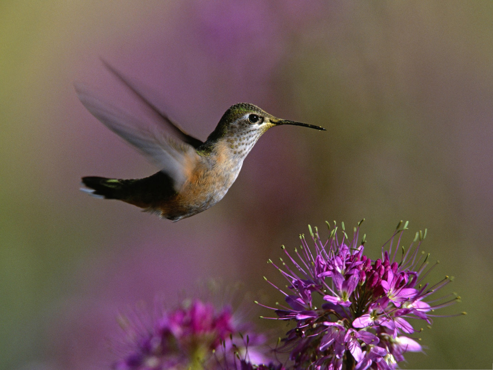 click to free download the wallpaper--Flying Hummingbird Picture, Little Bird Flying Toward the Blooming Flowers 1600X1200 free wallpaper download