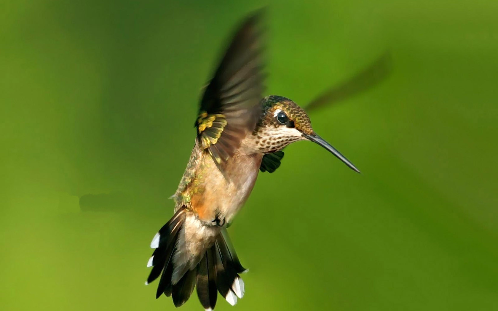 click to free download the wallpaper--Flying Hummingbird, Small Yet Powerful Bird, Deligent and Persistent 1680X1050 free wallpaper download
