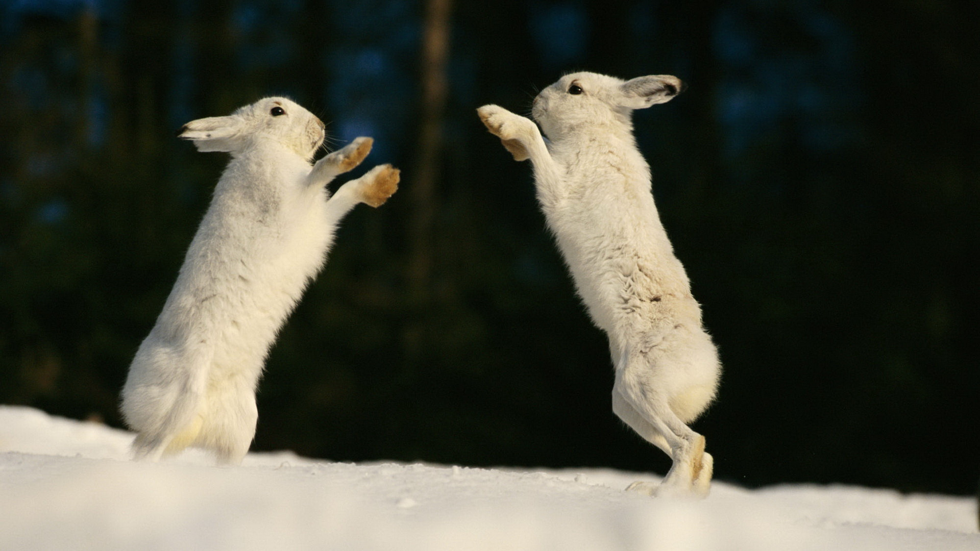 click to free download the wallpaper--Free Download Cute Animals Picture - Two Dancing Rabbits, the Snowy World, Green Plants, Looking Attractive 1920X1080 free wallpaper download