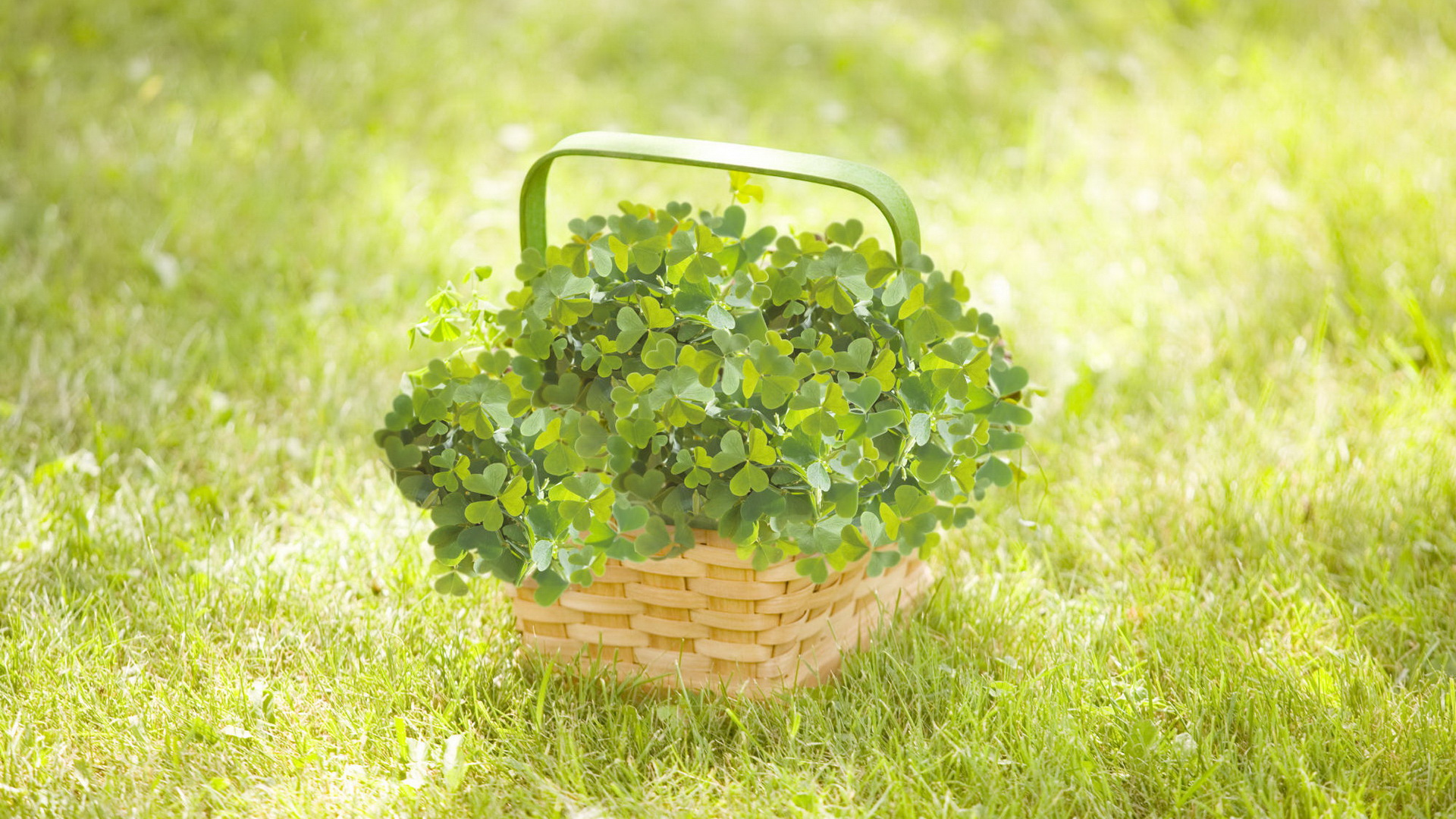 click to free download the wallpaper--Free Download Natural Scenery Picture - A Basket of Fresh Whitetip Clovers, Bring Them Home and Feel Good  1920X1080 free wallpaper download