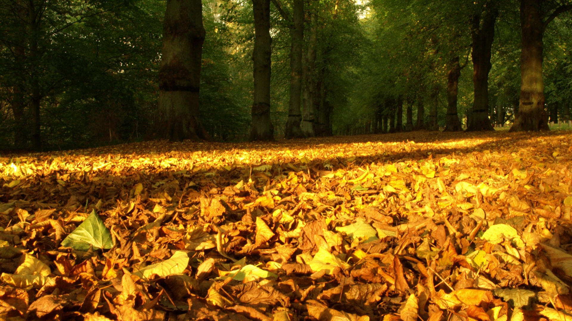 click to free download the wallpaper--Free Download Natural Scenery Picture - A Field of Fallen Leaves, Golden in Look, the Sun's Effect 1920X1080 free wallpaper download