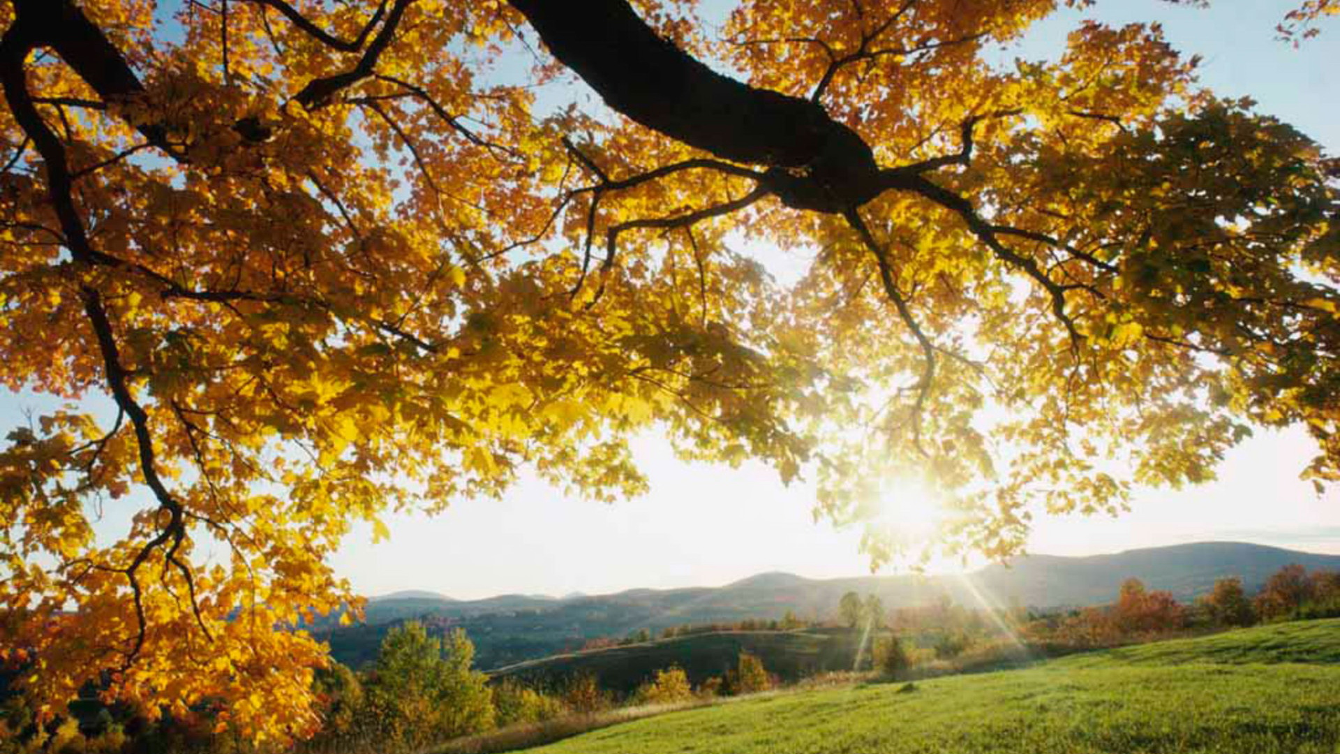 click to free download the wallpaper--Free Download Natural Scenery Picture - Leaves of the Tree Are Turning Yellow, Appreciative of the Fruitful Autumn 1920X1080 free wallpaper download