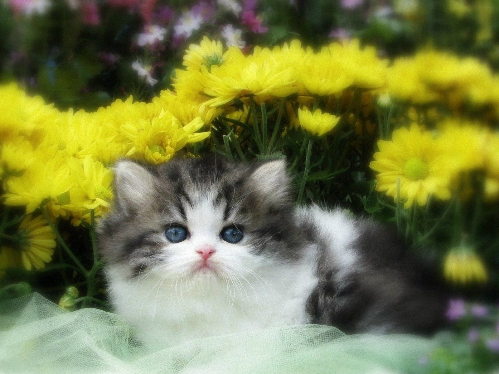 click to free download the wallpaper--Free Pics of Kitten, the Little Cutie is in Innocent Eyesight, She is Like a Fur Ball 1600X1200 free wallpaper download