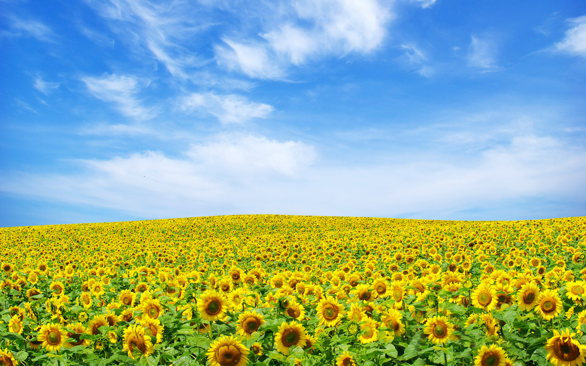 Free Scenery Wallpaper  A Seemingly Endless Sunflower Landscape, Fit
