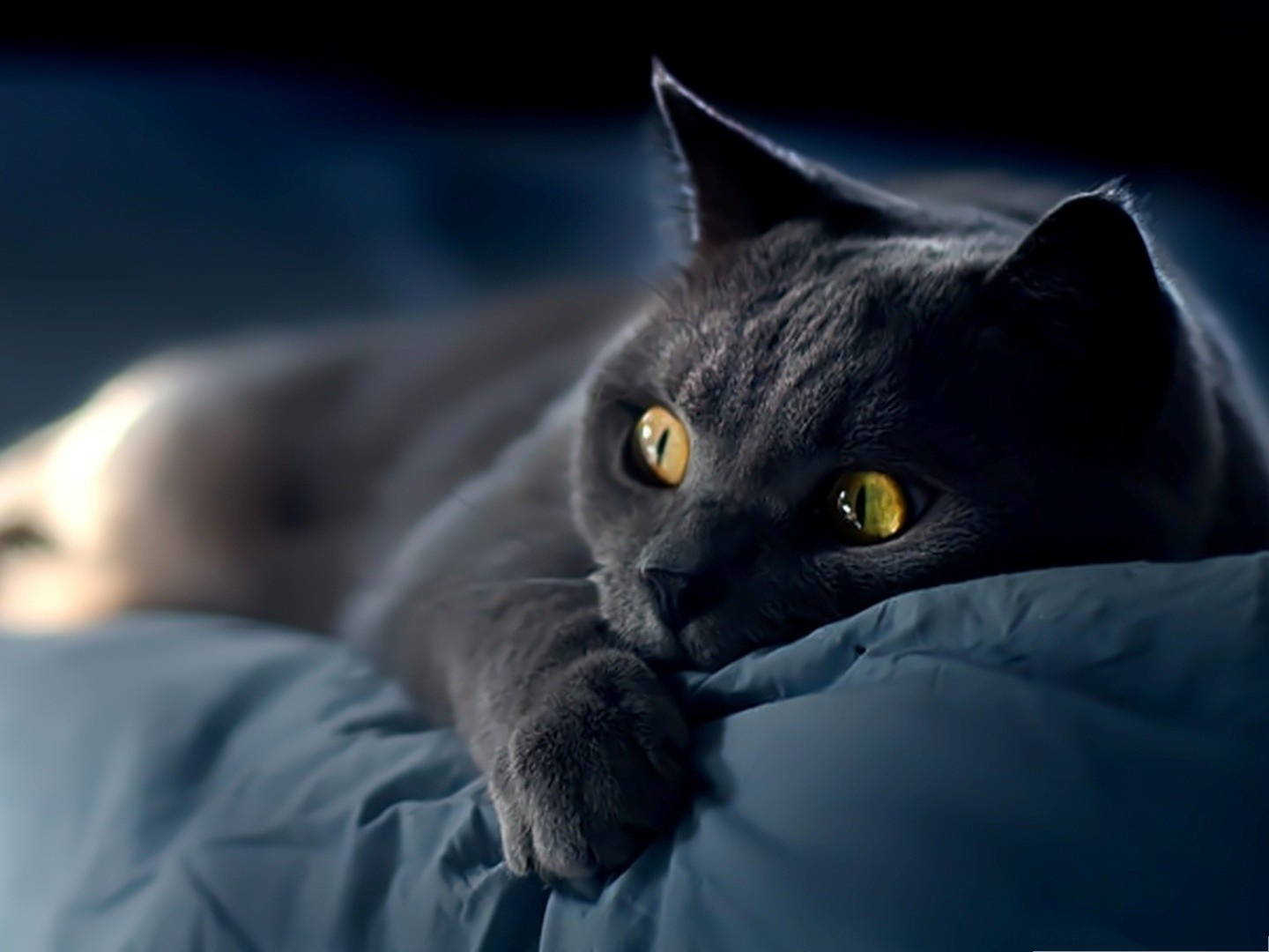 click to free download the wallpaper--Funny Cat Photos, Kitten in Its Dream, Lying on Blue Blanket 1440X1080 free wallpaper download