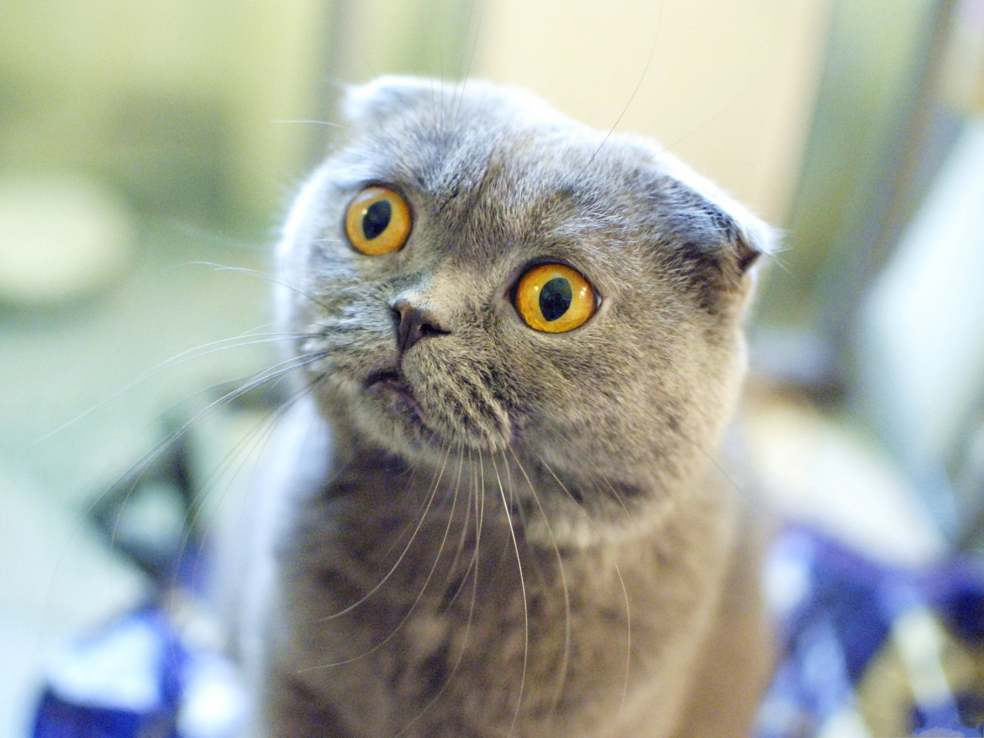 click to free download the wallpaper--Funny Cat Pics, Scottish Fold Cat in Surprised Facial Expression 3200X2400 free wallpaper download
