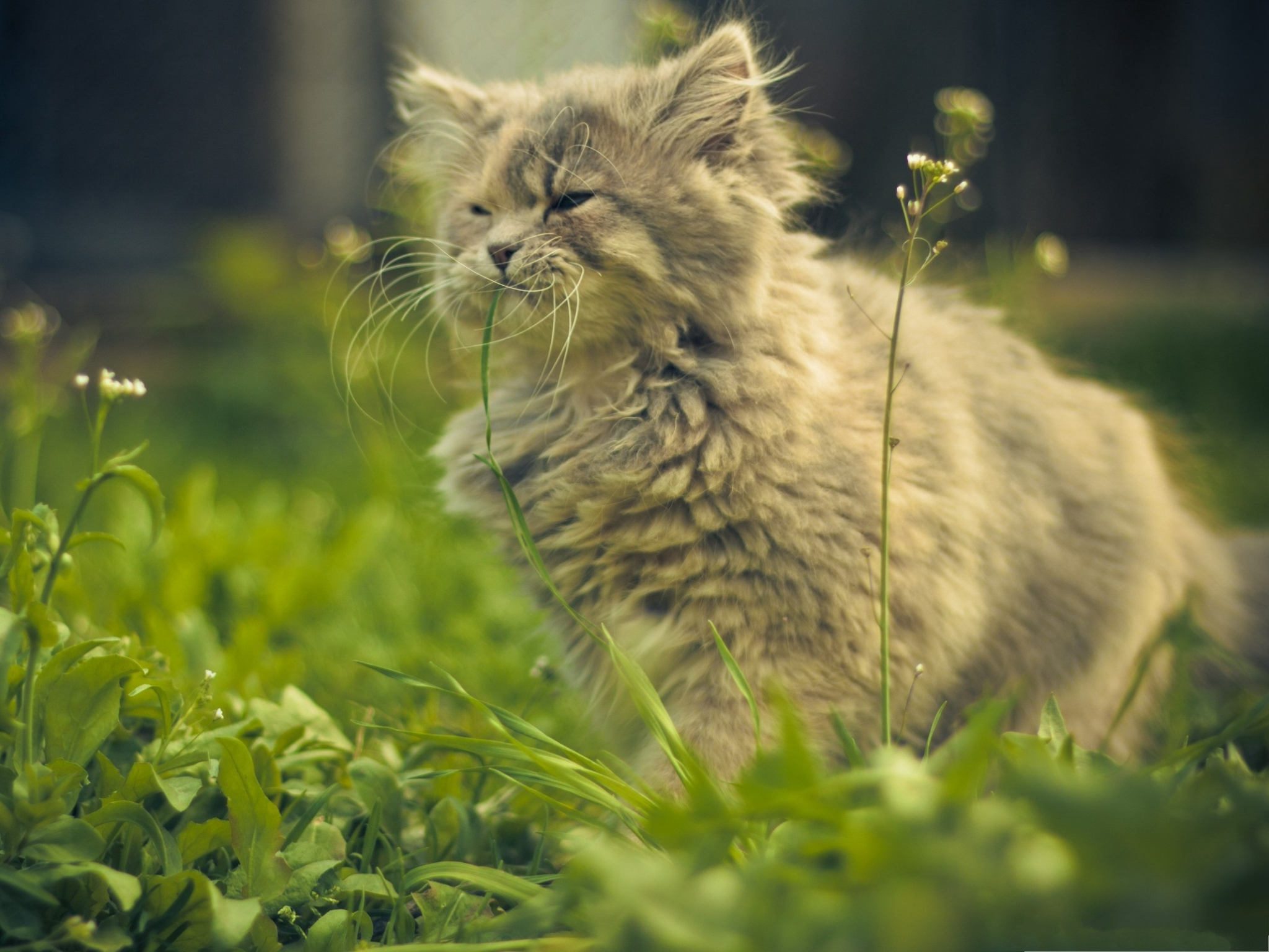 click to free download the wallpaper--Funny Cat Pictures, Kitten Eating Grass, Walk in the Green 2048X1536 free wallpaper download