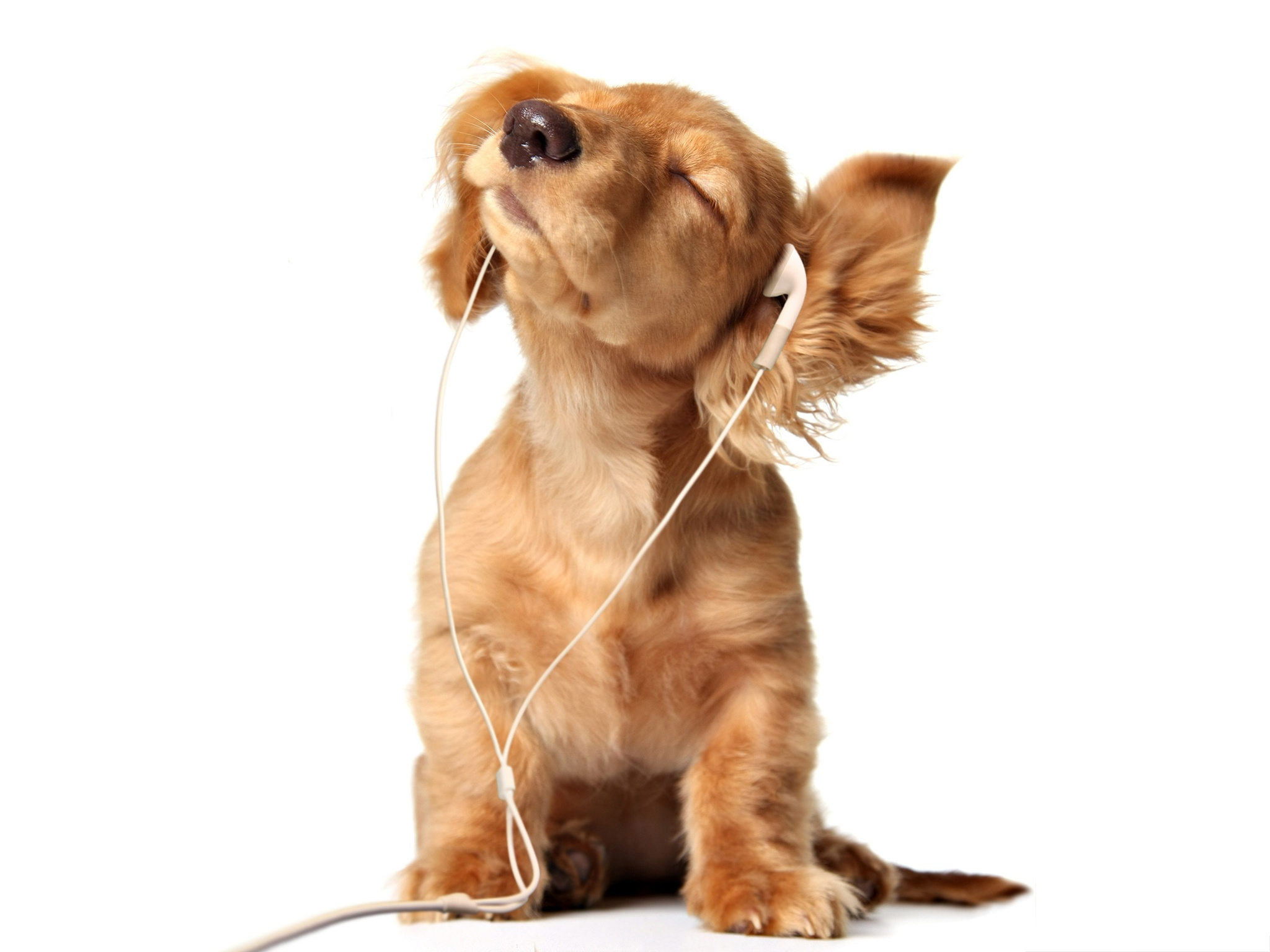 click to free download the wallpaper--Funny Puppy Image, Dog in Earphone, Going to Shake Your Body? 2048X1536 free wallpaper download