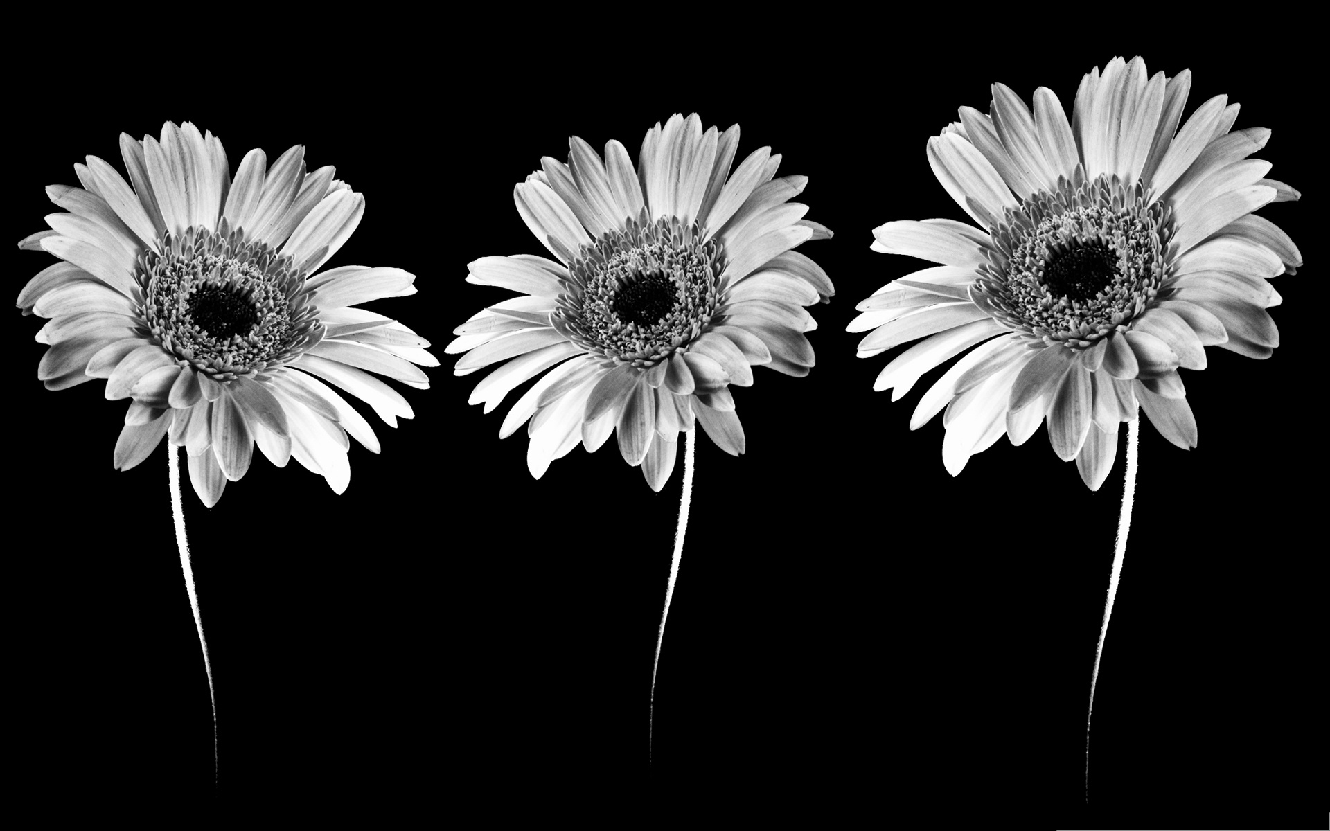 click to free download the wallpaper--Gerbera Flowers Photo, Blooming Flowers in Black and White Style, Nice-Looking and Impressive 1920X1200 free wallpaper download