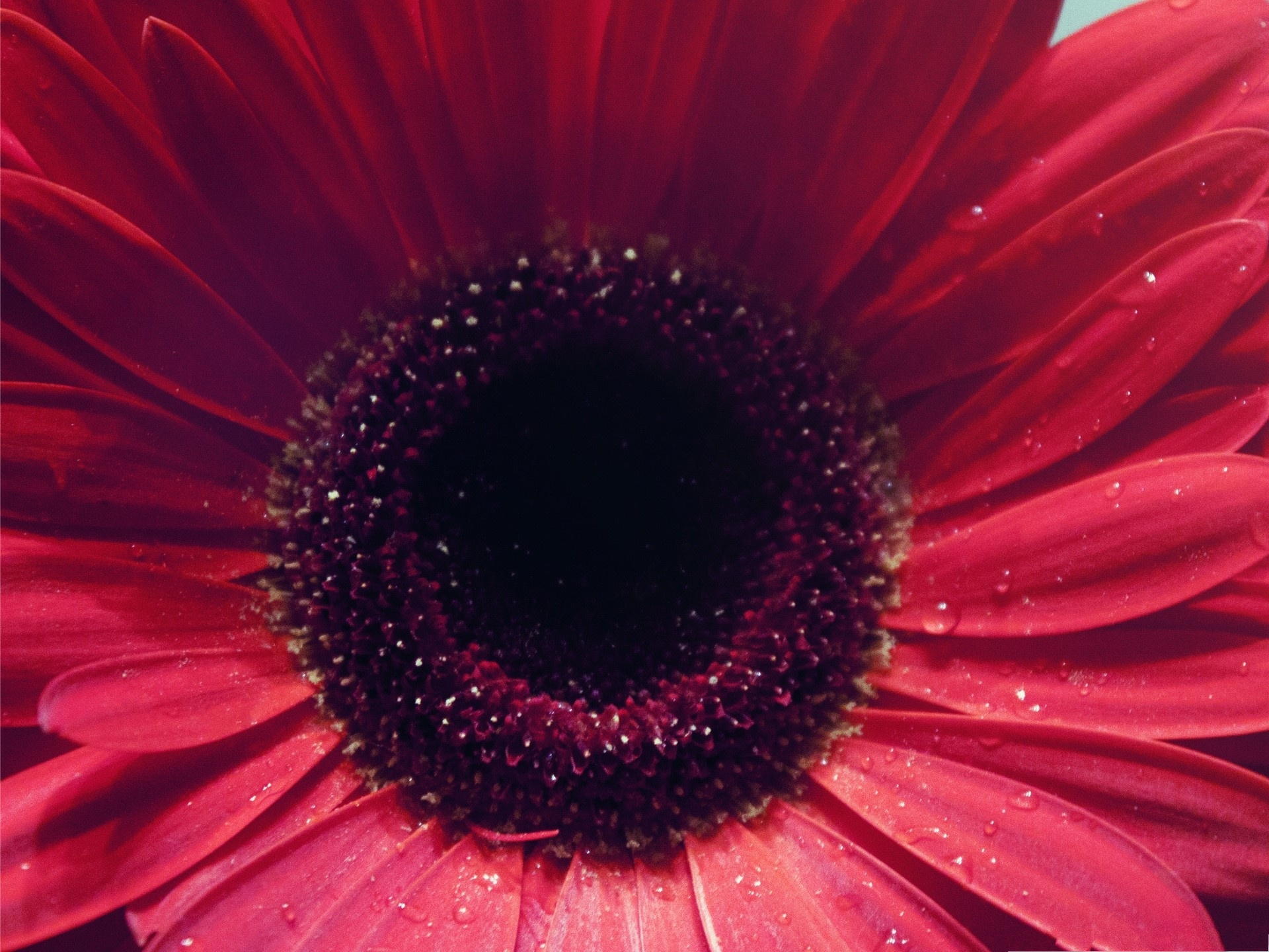 click to free download the wallpaper--Gerbera Flowers Picture, Red Flowers in Bloom, Water Drops on Petals 1920X1440 free wallpaper download