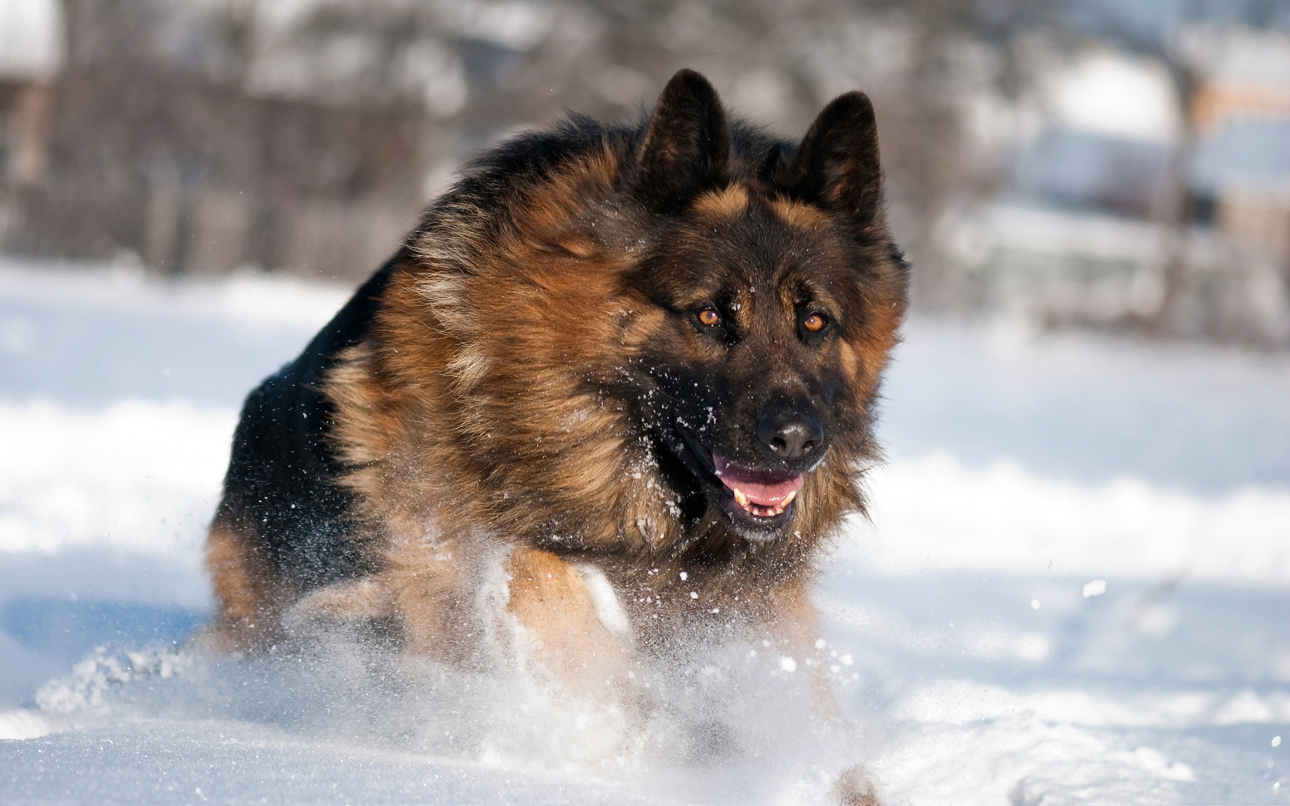 click to free download the wallpaper--German Shepherd Outdoor 2560X1600 free wallpaper download
