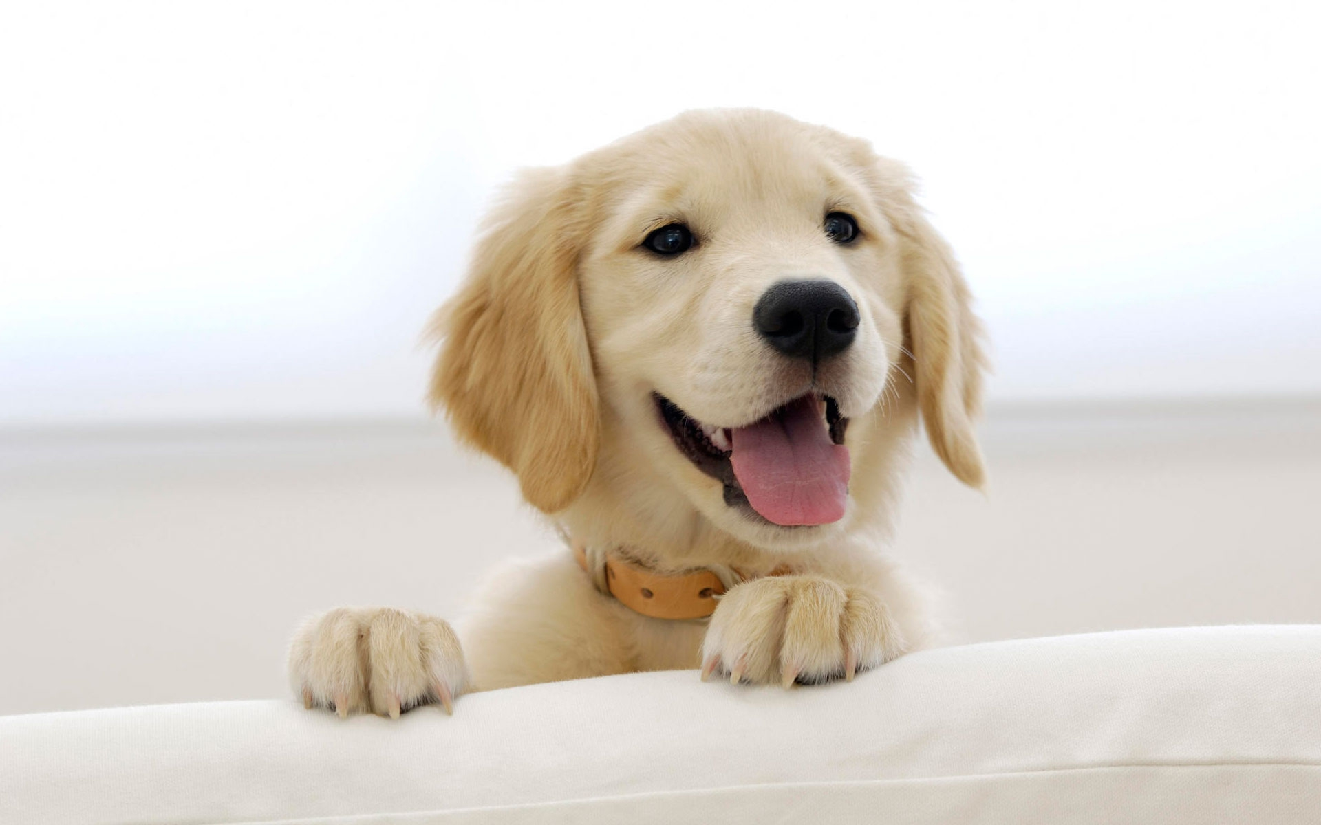 click to free download the wallpaper--Golden Retriever Puppy Image 1920X1200 free wallpaper download