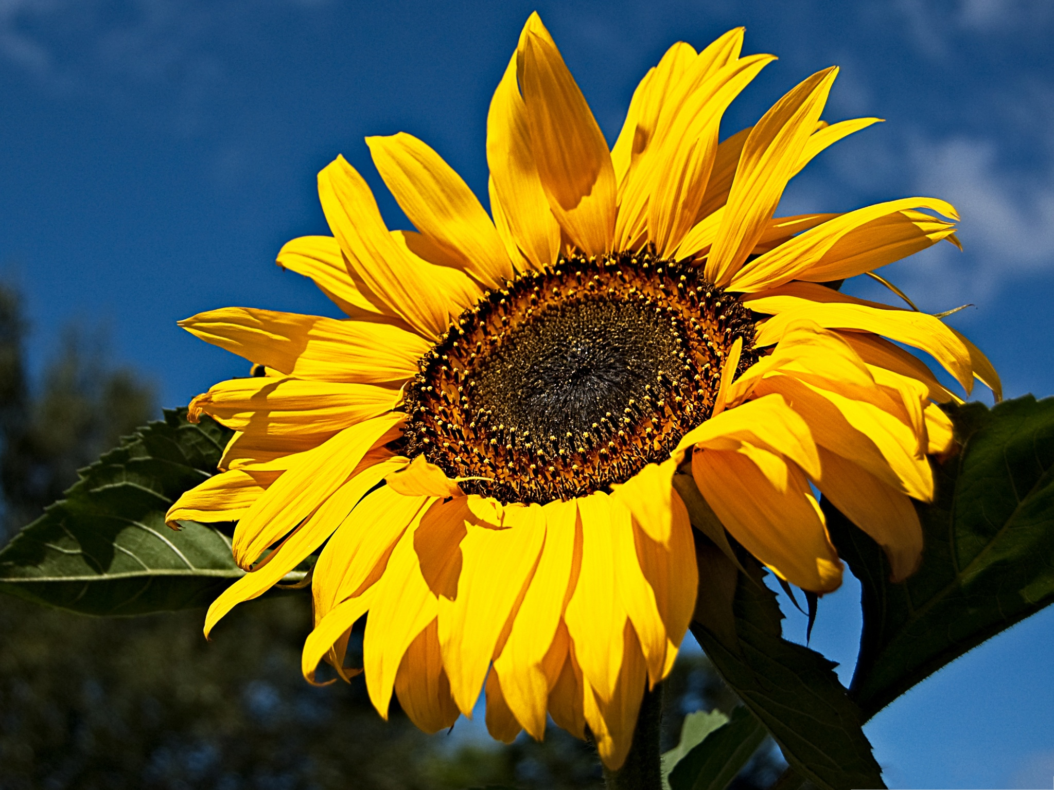 click to free download the wallpaper--Golden Sunflower Pics, Blooming Sunflower Under the Blue Sky 2048X1536 free wallpaper download