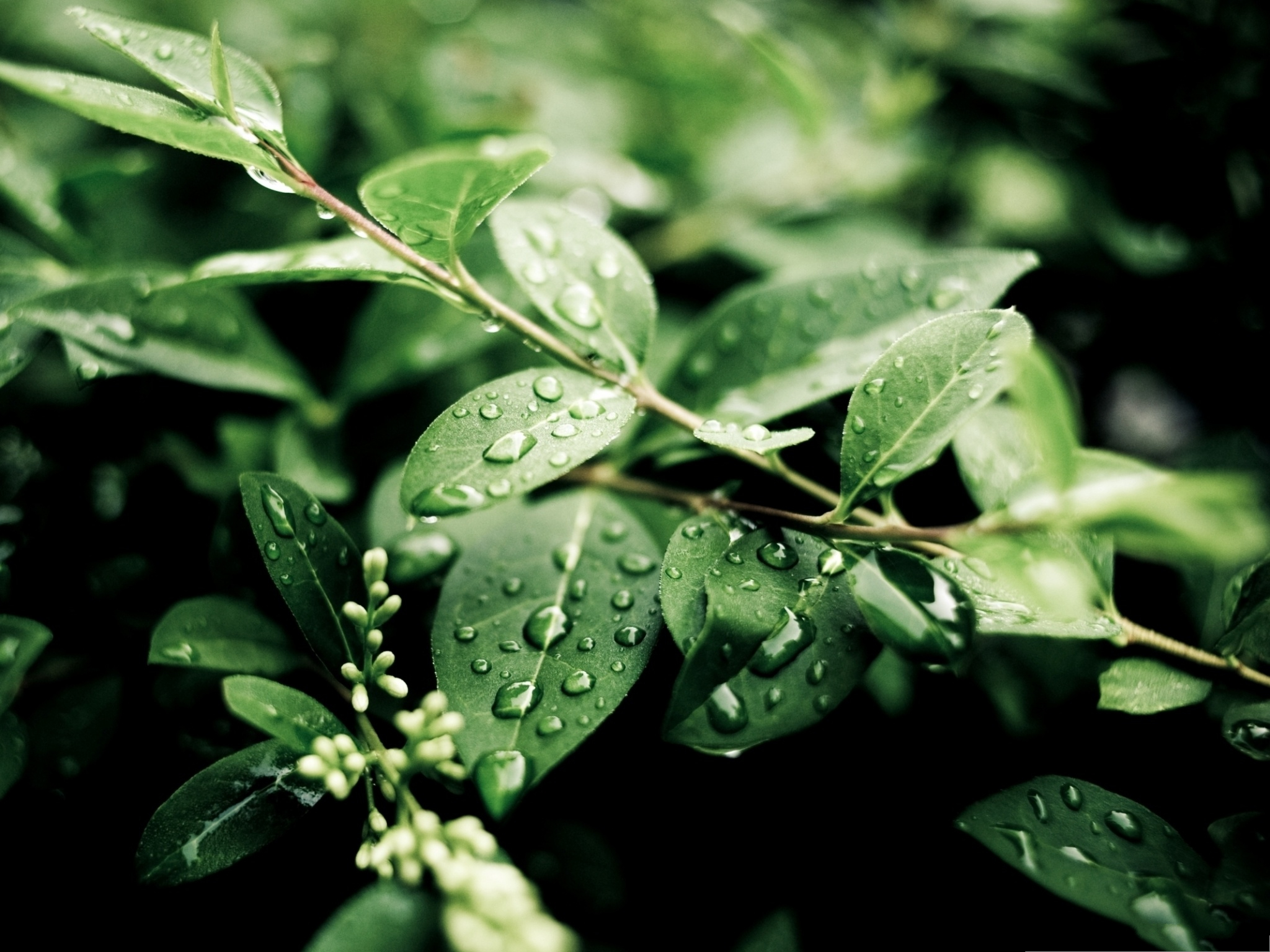 click to free download the wallpaper--Green Plant Images, Rain Drops on Green Leaves, Fresh Morning Scene 2048X1536 free wallpaper download