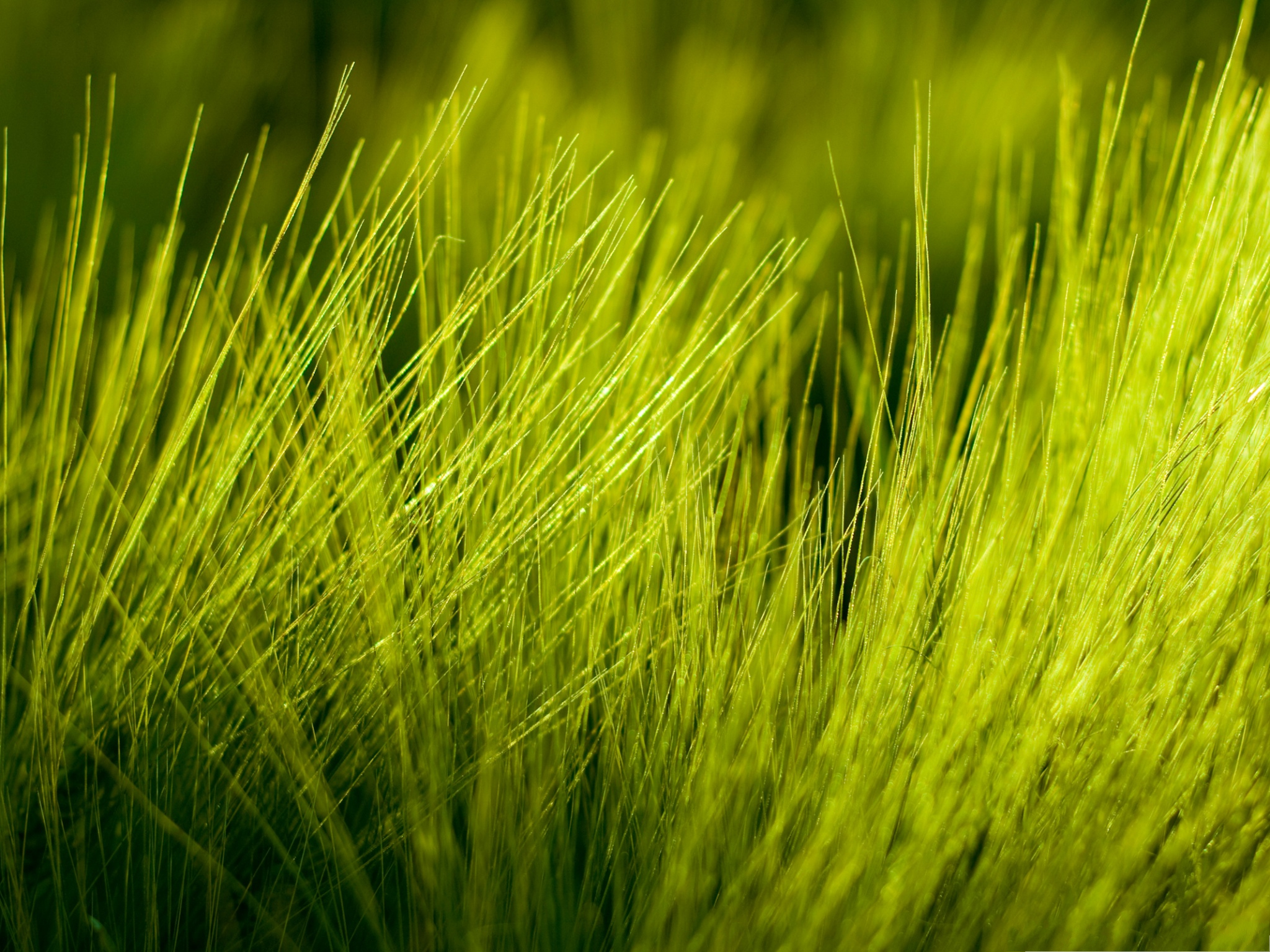 click to free download the wallpaper--Green Wheat Picture, Green Short Wheats, Will be Ripe Soon 2048X1536 free wallpaper download
