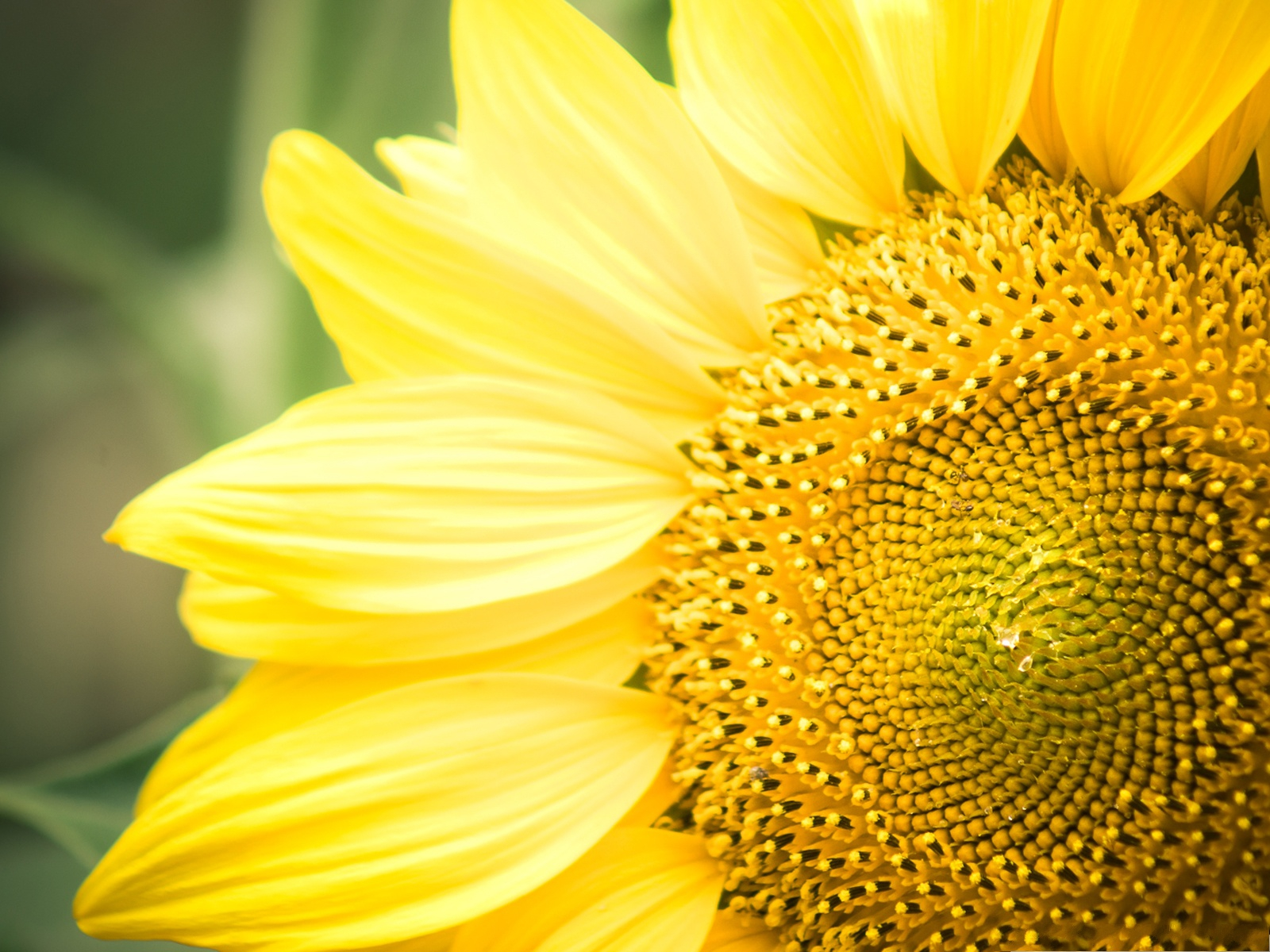 click to free download the wallpaper--Happy Sunflowers Photography, Blooming Sunflowers, Yellow Petals, Happy Smile 1600X1200 free wallpaper download