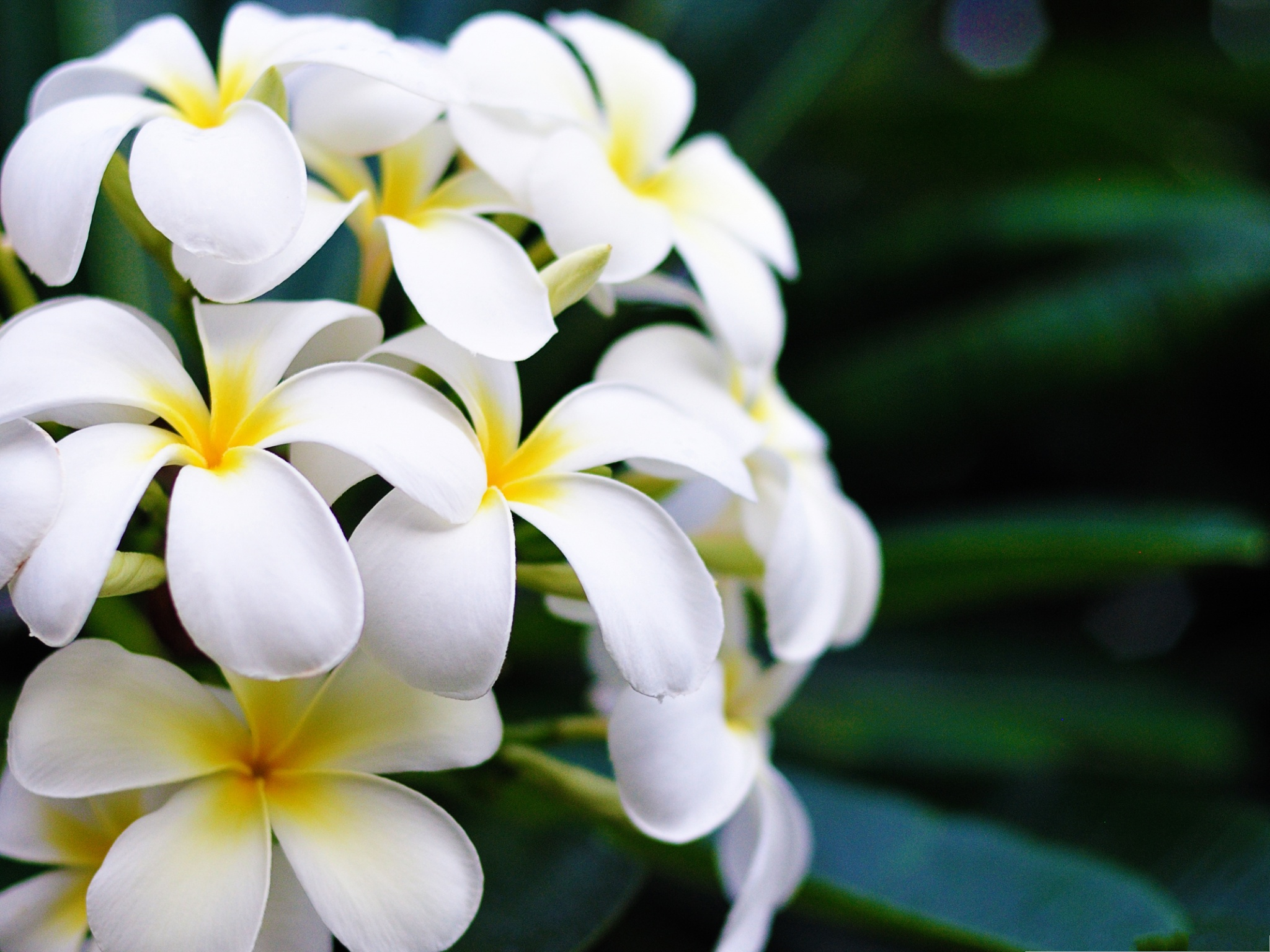 click to free download the wallpaper--Hawaii Flowers Image, White and Small Flowers in Bloom, Amazing Look 2048X1536 free wallpaper download