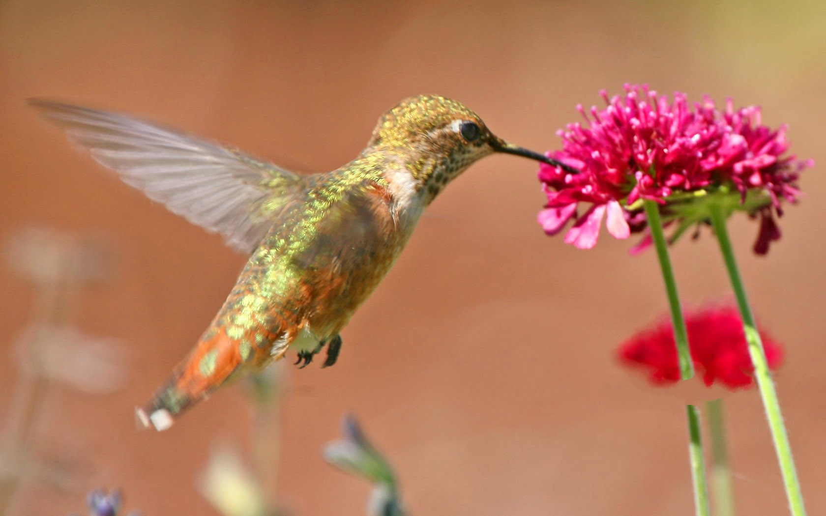 click to free download the wallpaper--Hummingbird Picture, Love Being Close to Flowers, Fly Toward It 1680X1050 free wallpaper download
