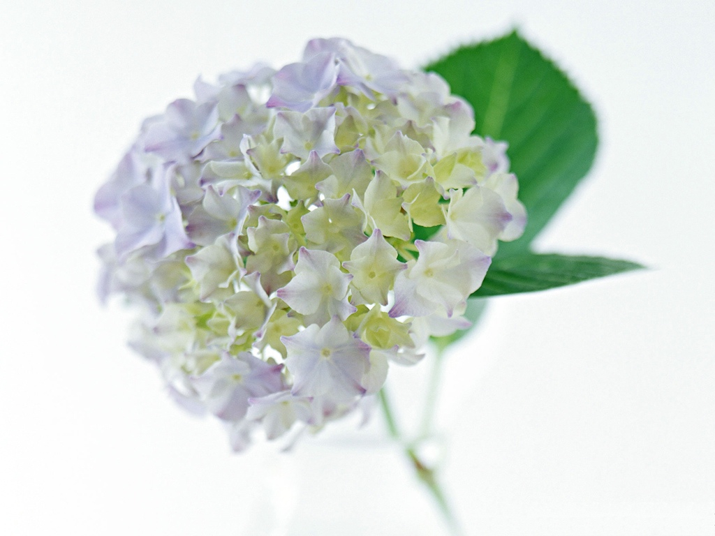 click to free download the wallpaper--Hydrangea Picture, White and Purple Flowers in Bloom, Green Leaves 1024X768 free wallpaper download