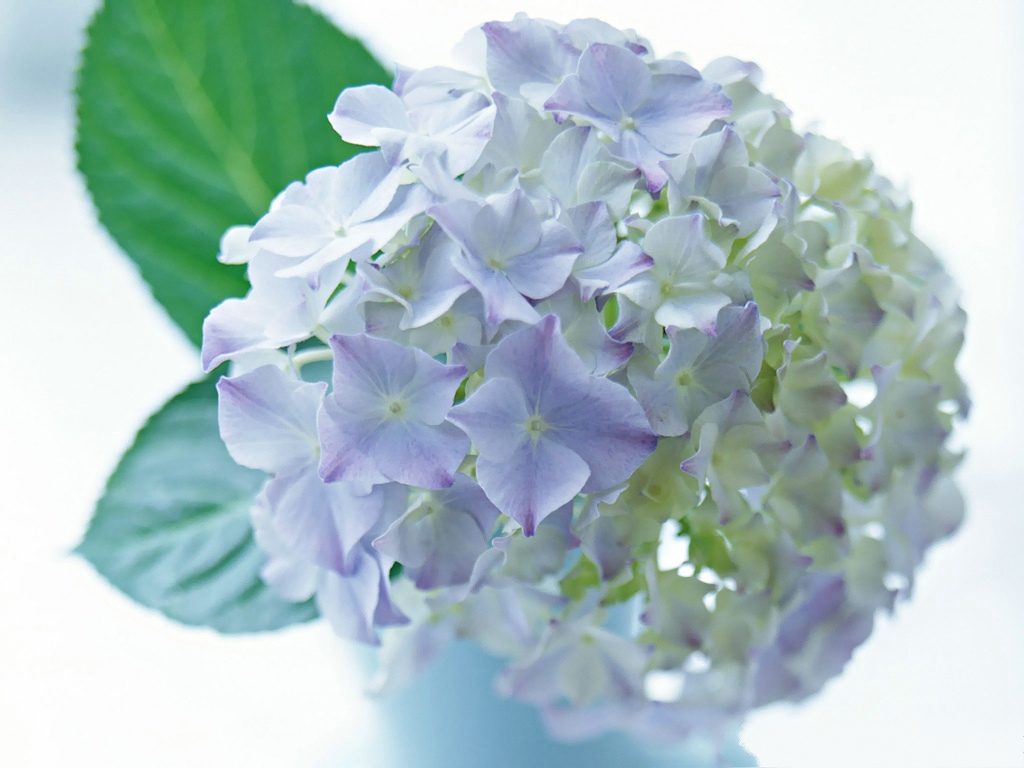 click to free download the wallpaper--Hydrangea Picture, White to Purple Pincushion, Green Leaves   1024X768 free wallpaper download