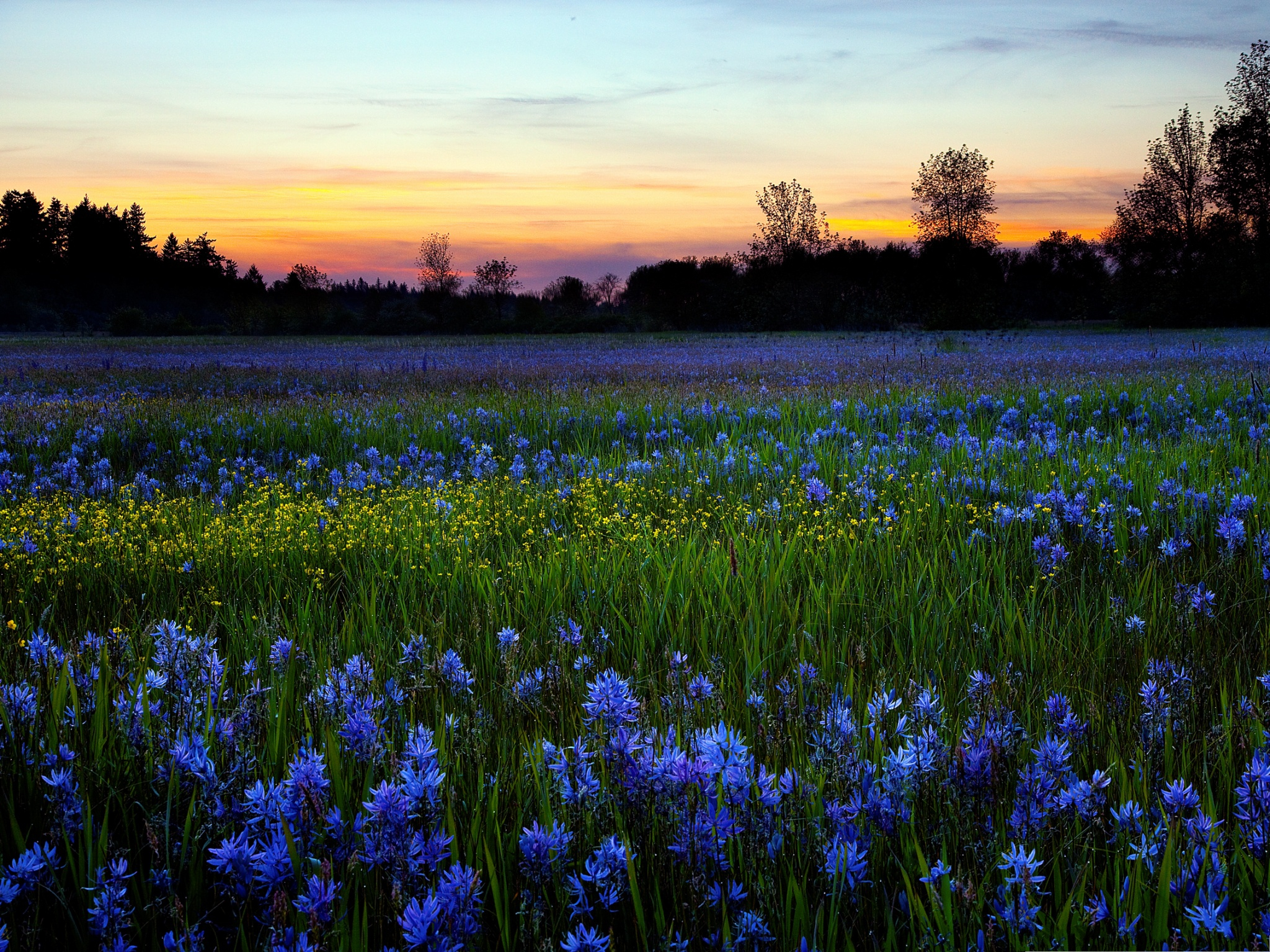 click to free download the wallpaper--Image of Blue Flowers, Tiny Flower in Bloom, Golden Horizon  2048X1536 free wallpaper download