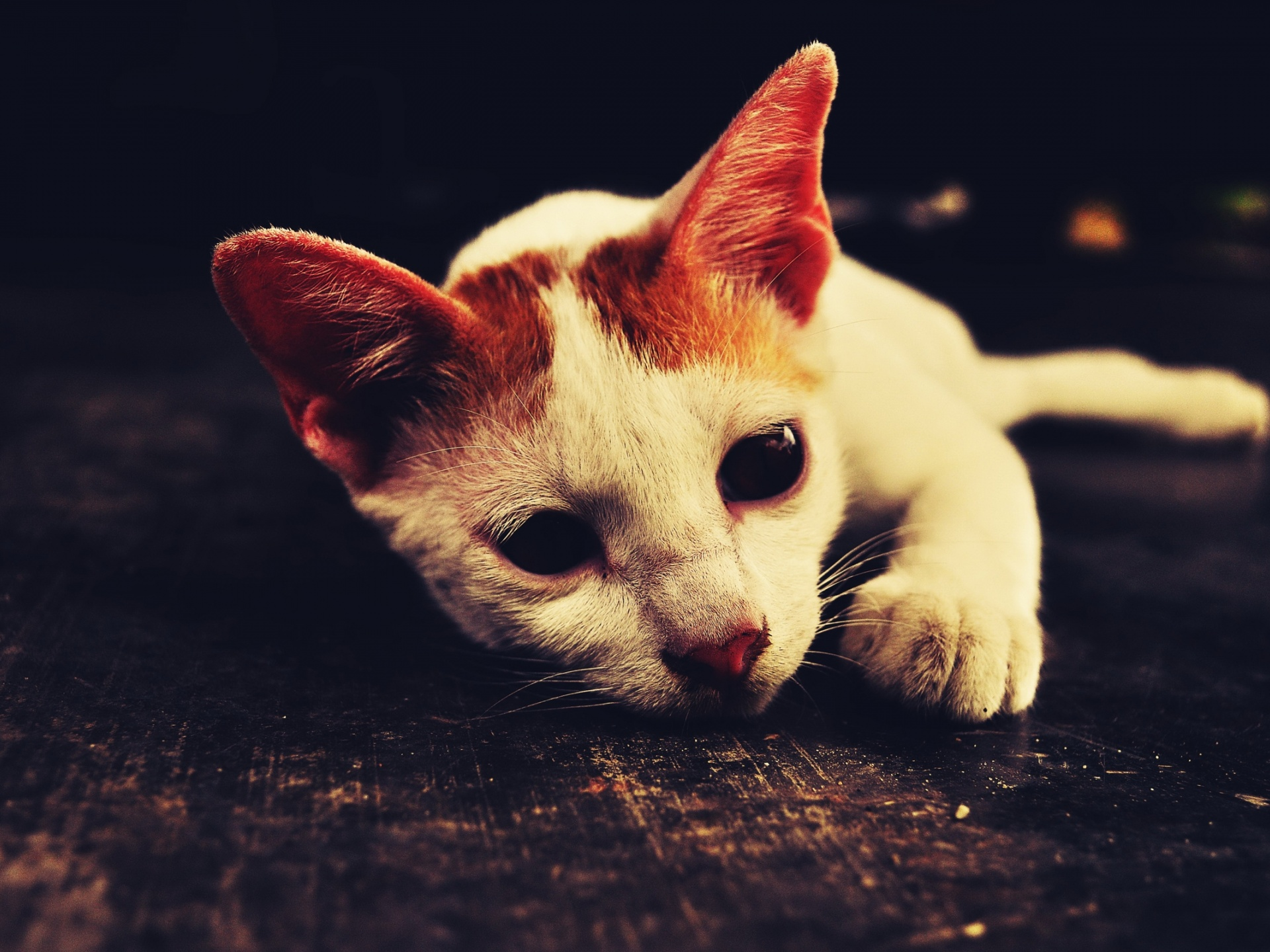 click to free download the wallpaper--Image of Cute Animals, White Cat Lying on Black Floor, Shall be Impressive 1920X1440 free wallpaper download