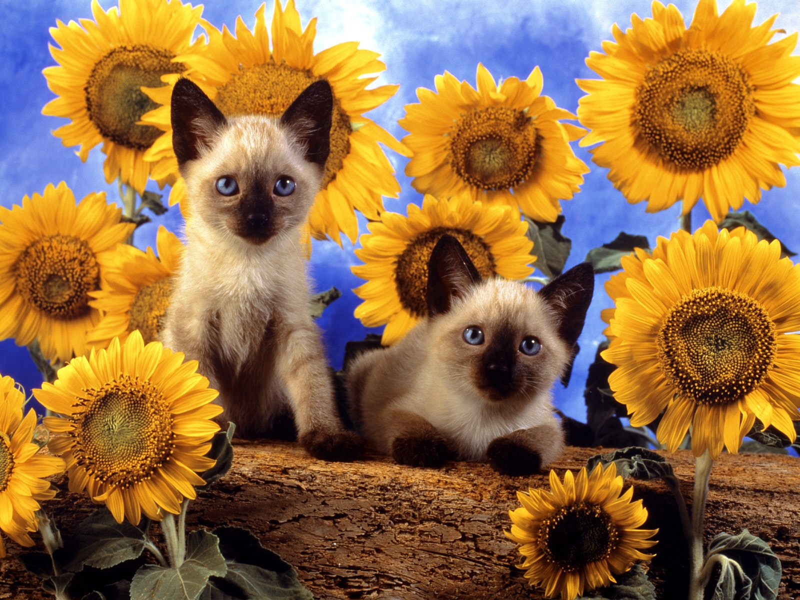 click to free download the wallpaper--Image of Cute Cats, Two Kittens Around Nature Flowers, Peaceful Look 1600X1200 free wallpaper download