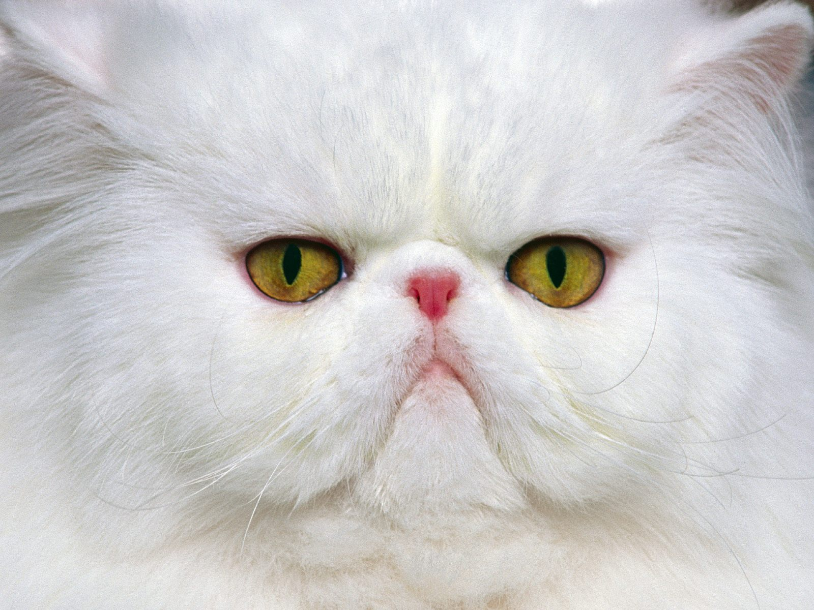 click to free download the wallpaper--Image of Funny Kitten, Crowded Face, Indifferent and Uncaring  1600X1200 free wallpaper download