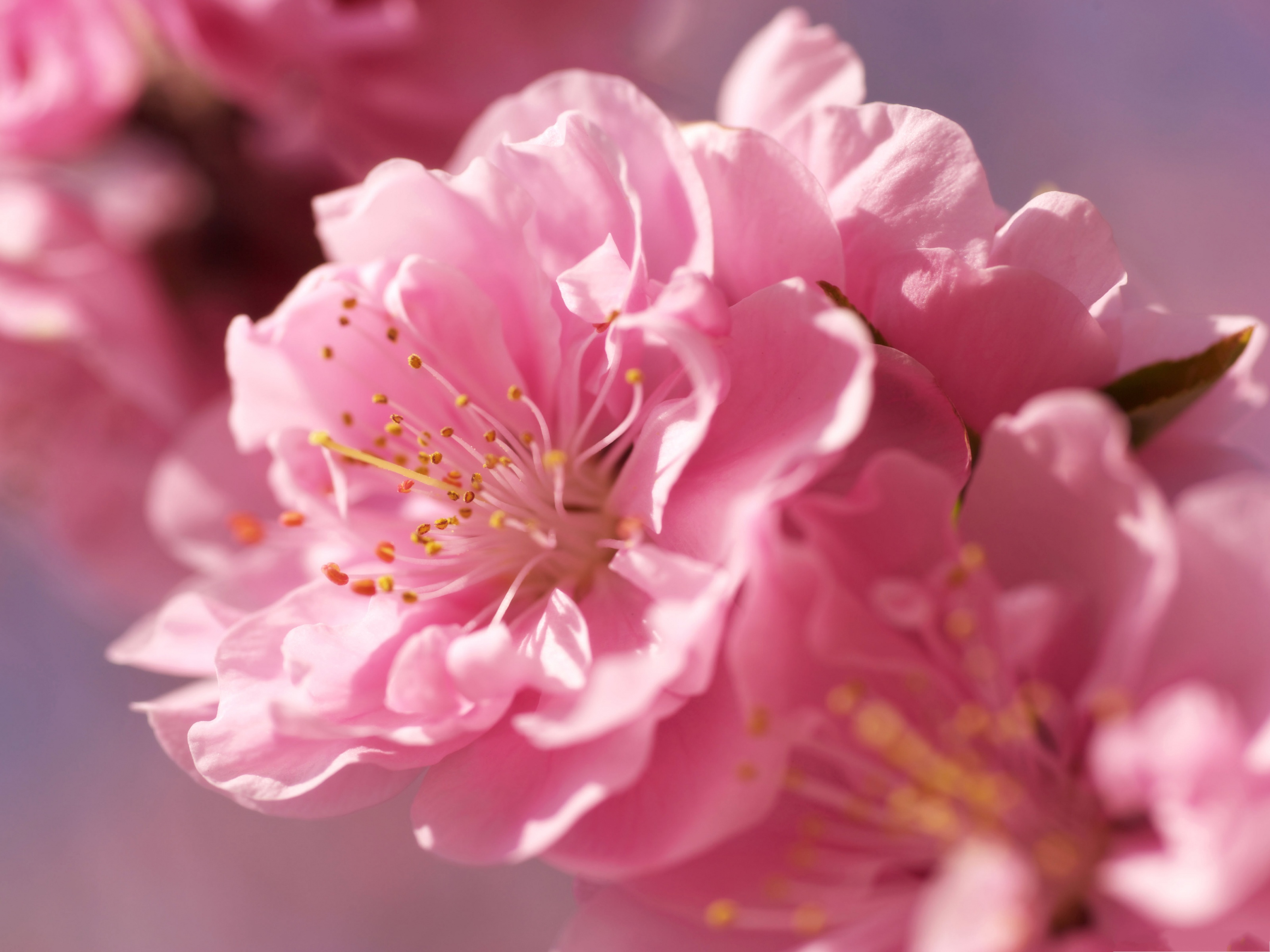 click to free download the wallpaper--Image of Prunus Flowers, Pink Flowers Under Macro Focus, the Blue Sky 3200X2400 free wallpaper download