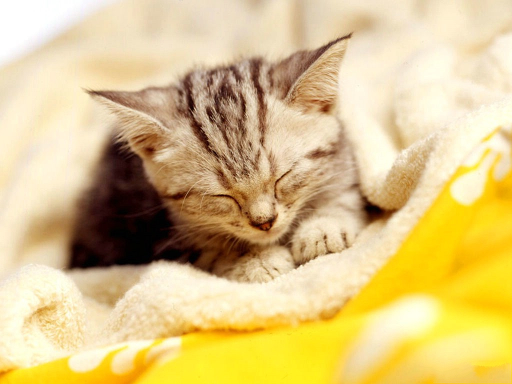 click to free download the wallpaper--Image of Sleeping Cat, Sleeping Under White Blanket, Sound and Long Sleep 1024X768 free wallpaper download