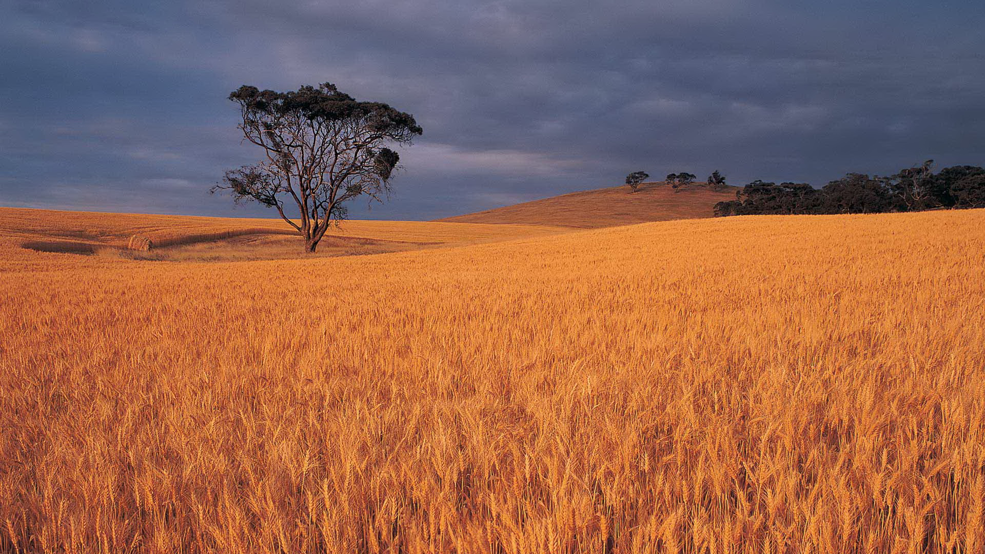click to free download the wallpaper--Images of Beautiful Nature - Dusk Scene, Golden and Ripe Wheats, Tall Trees Standing in the Middle 1920X1080 free wallpaper download