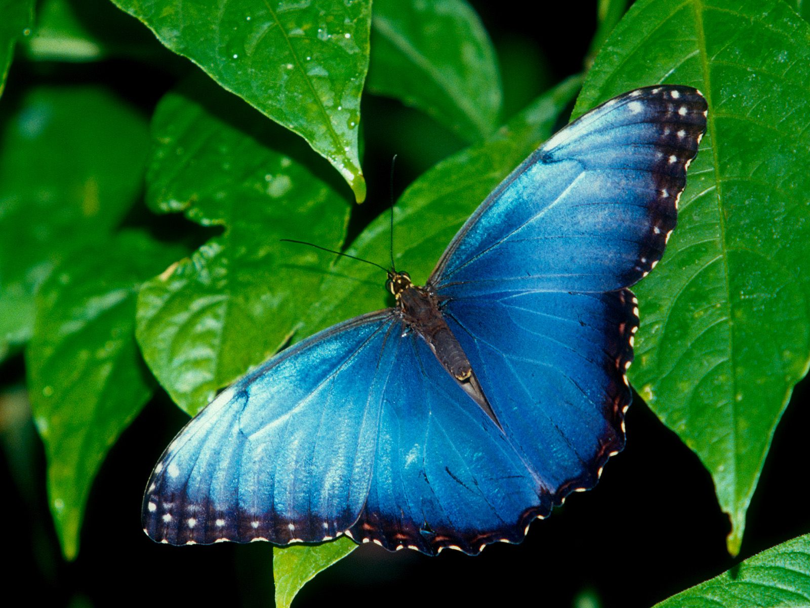 click to free download the wallpaper--Images of Butterfly - Blue Morpho Post in Pixel of 1600x1200, Blue Butterfly on Green Plants, Waterdrop Also on, Fresh Scene 1600X1200 free wallpaper download