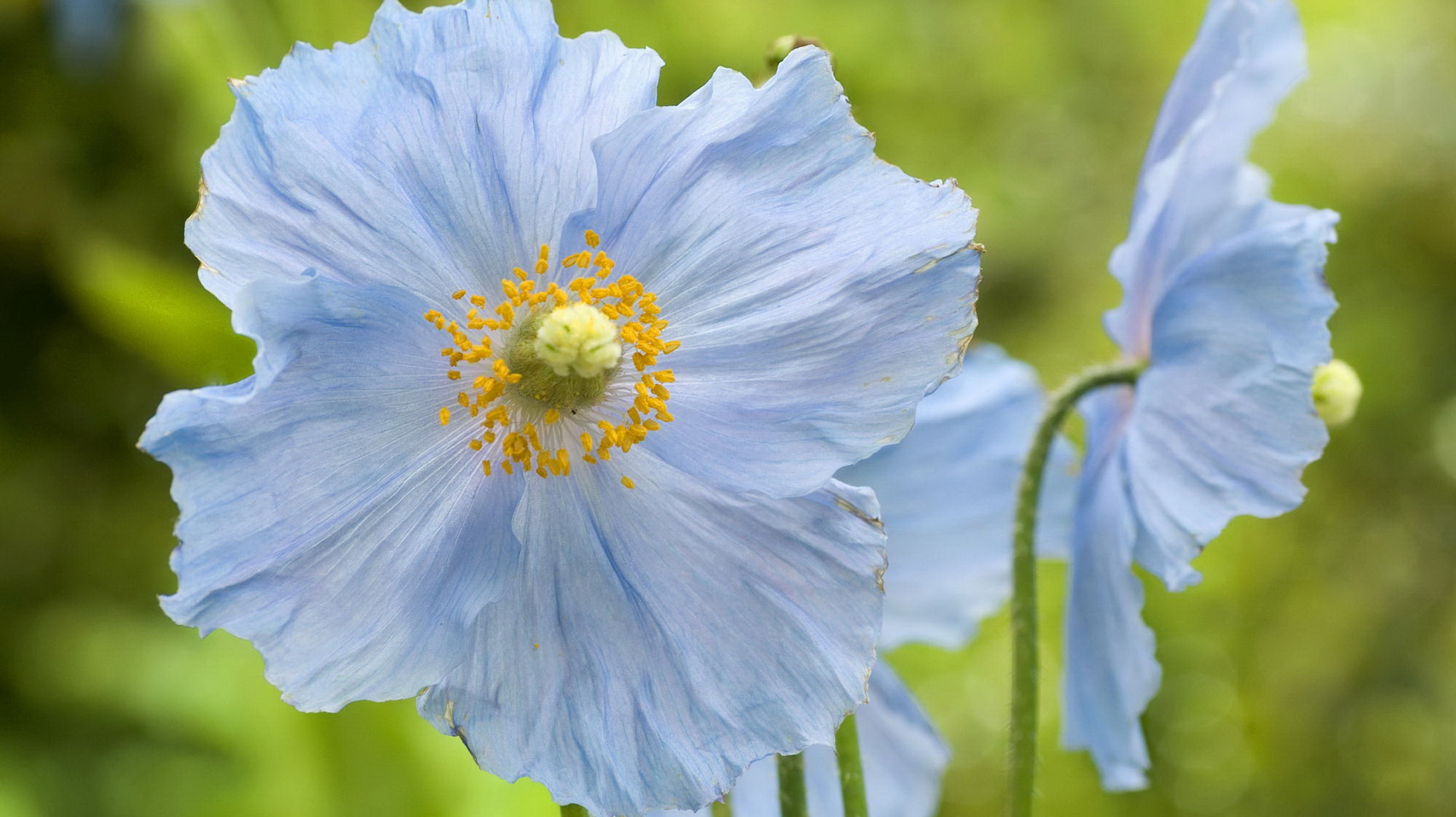 click to free download the wallpaper--Images of Flowers - A Light Blue Flower in Full Bloom, Yellow Stamen, Green Background, Great in Look 1920X1080 free wallpaper download